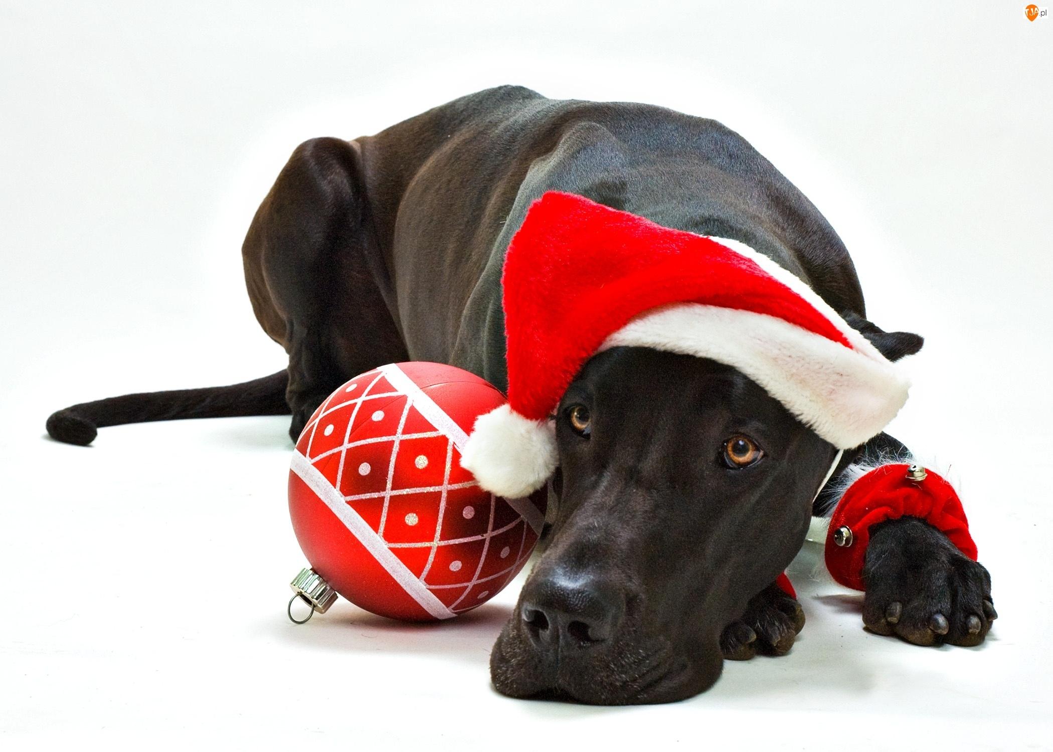 Dog niemiecki, Świąteczne