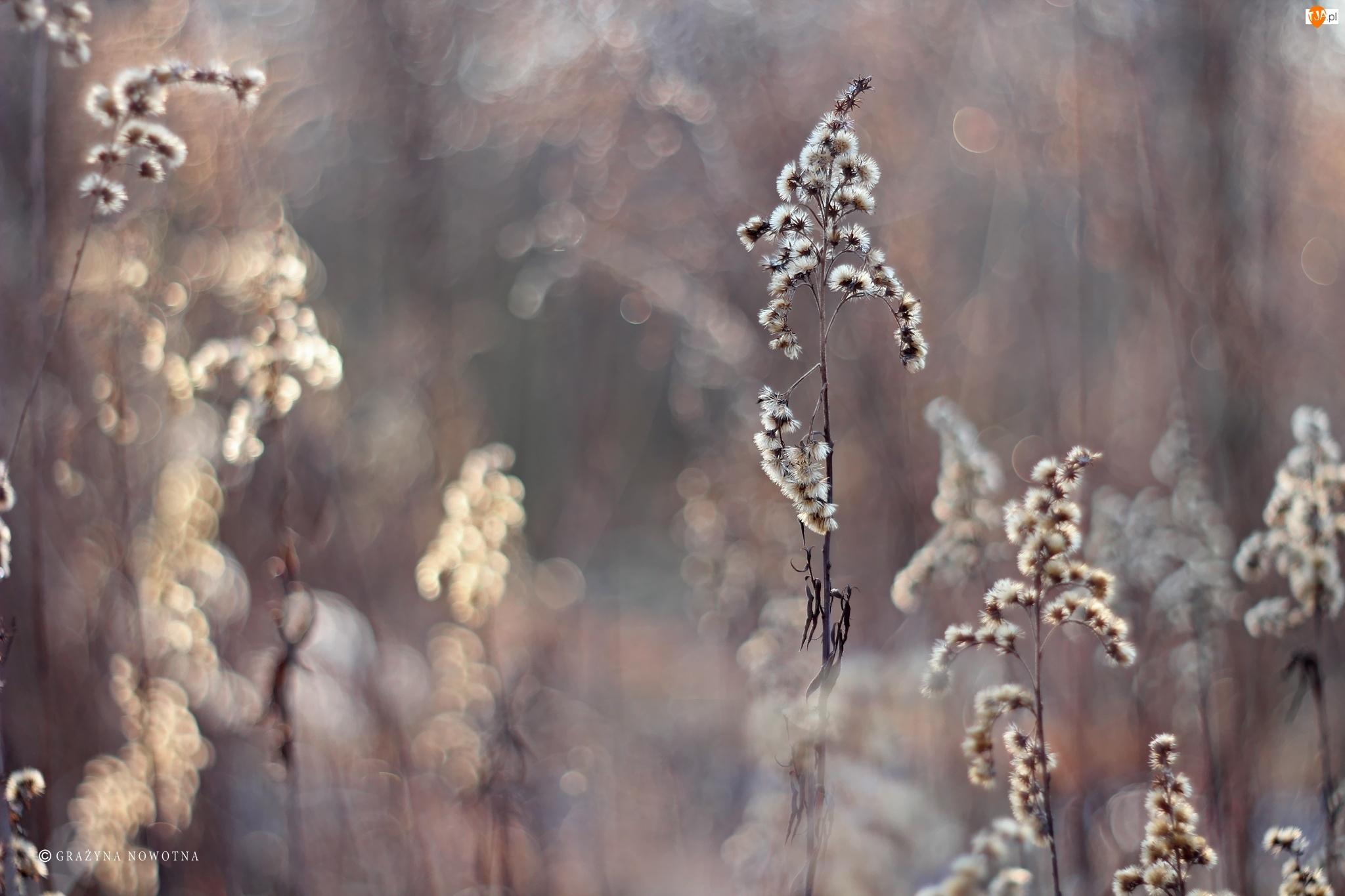 Kwiaty, Nawłoć, Suche