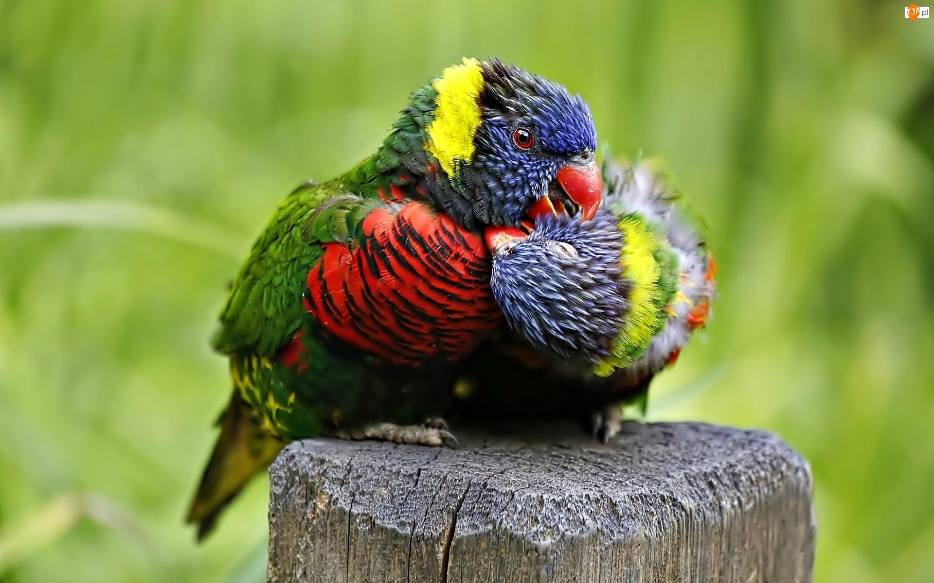 Lorysy, Dwie, Papugi