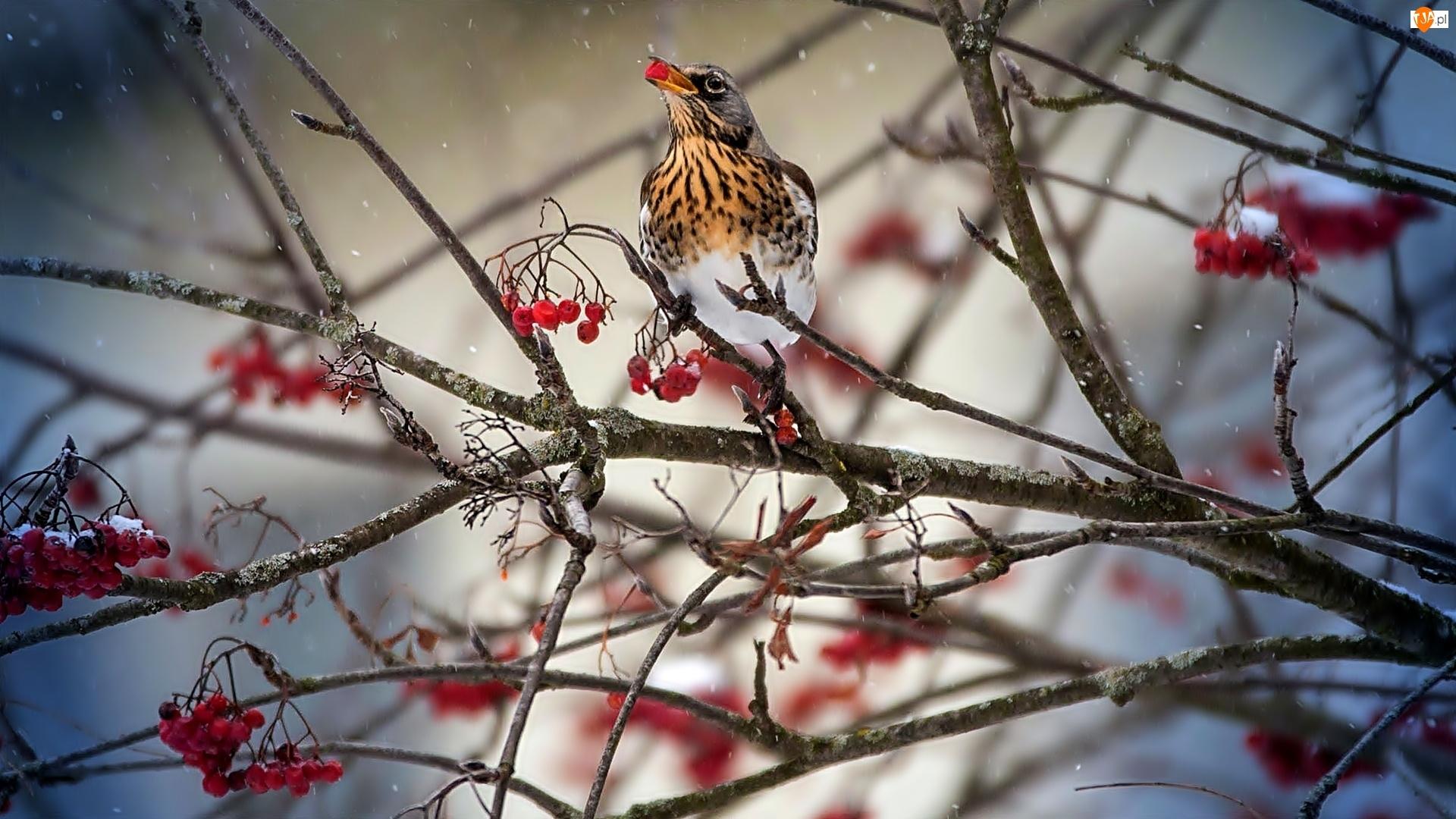 Jarzębiny, Ptak, Owoce