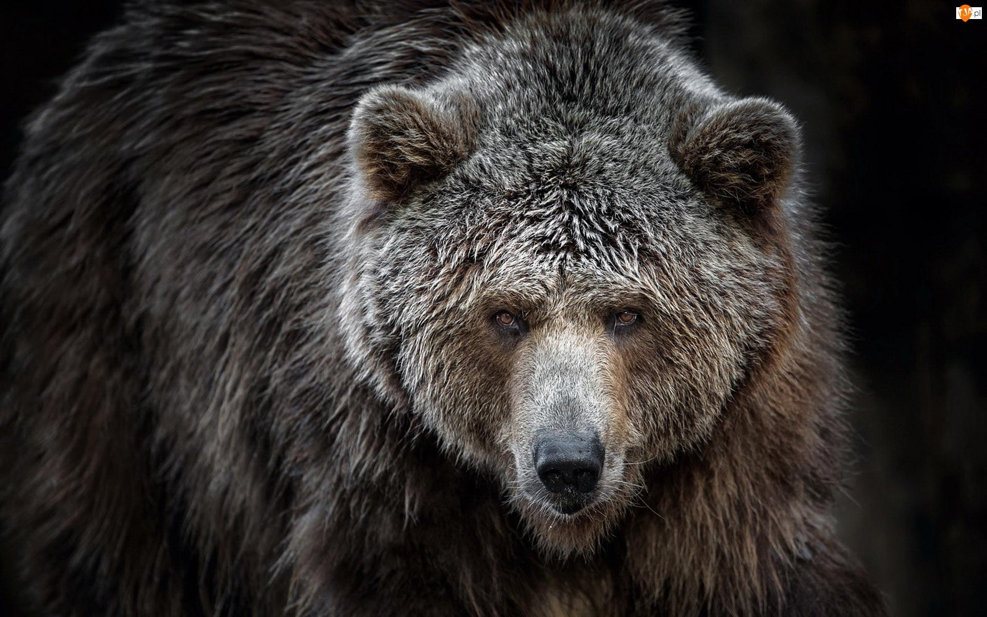 Niedźwiedź, Głowa