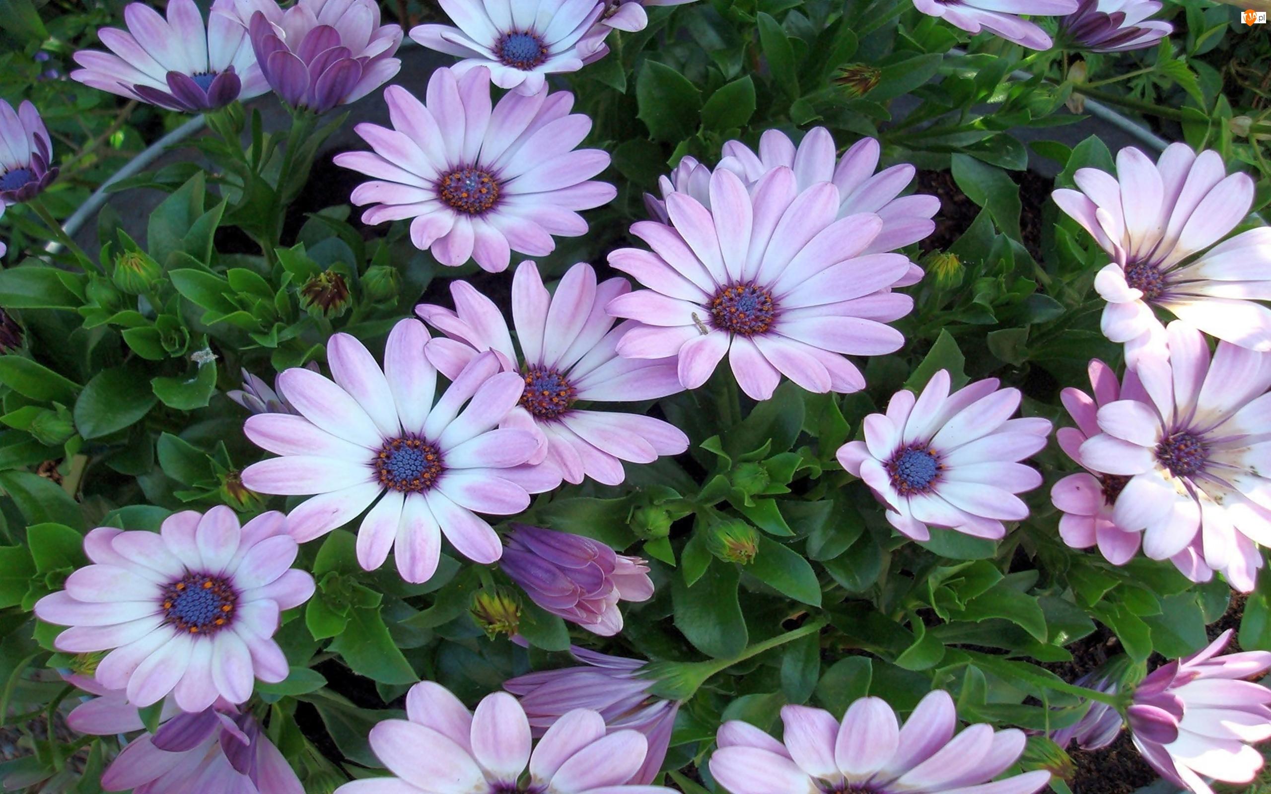 Biało, Arktotis, Różowe, Kwiaty