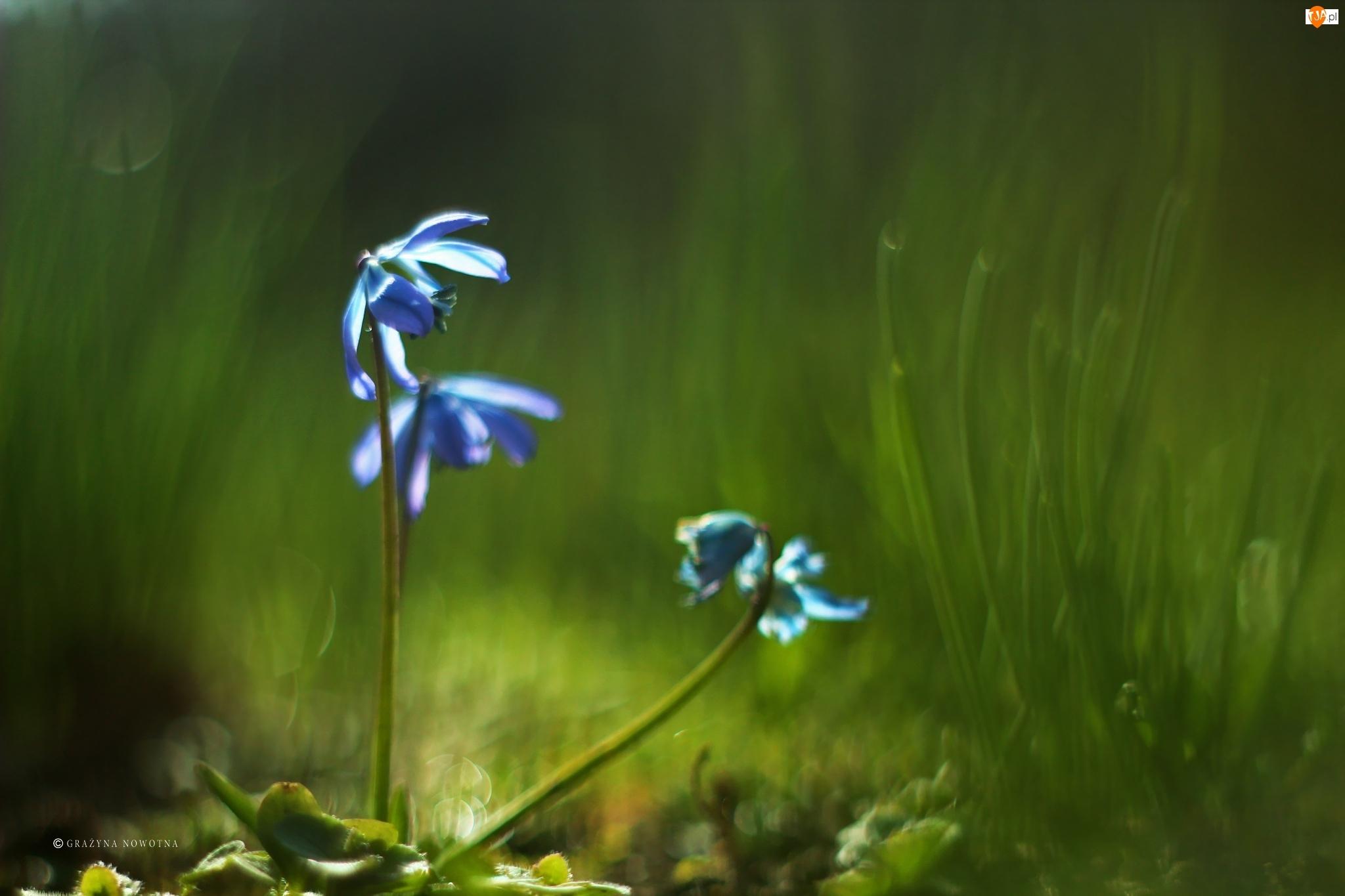 Kwiaty, Cebulica Syberyjska, Niebieskie