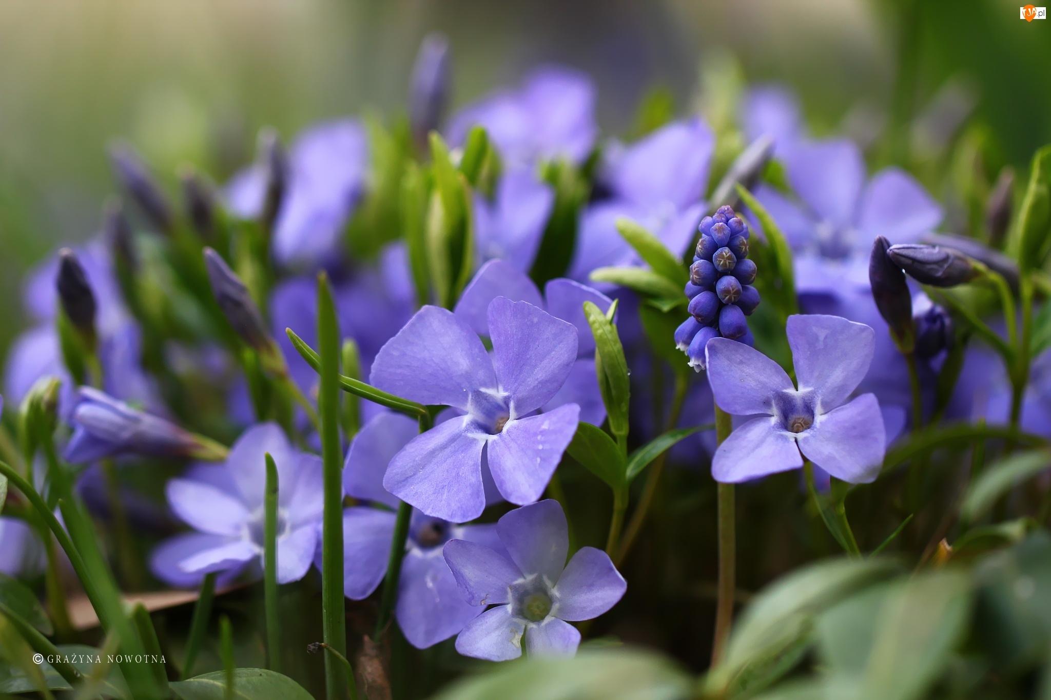 Barwinki, Kwiaty, Szafirki, Niebieskie
