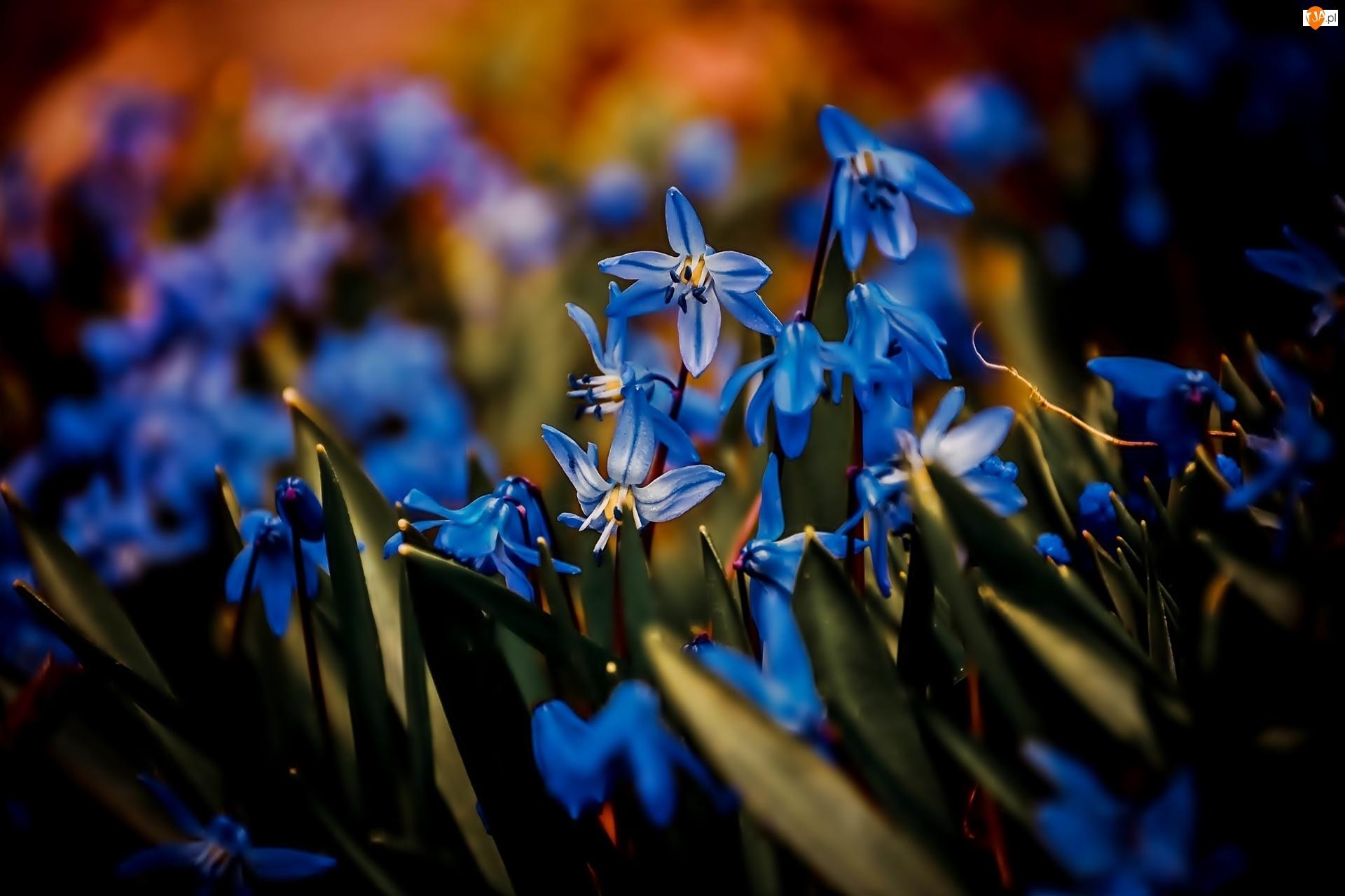 Cebulica syberyjska, Niebieskie, Kwiaty