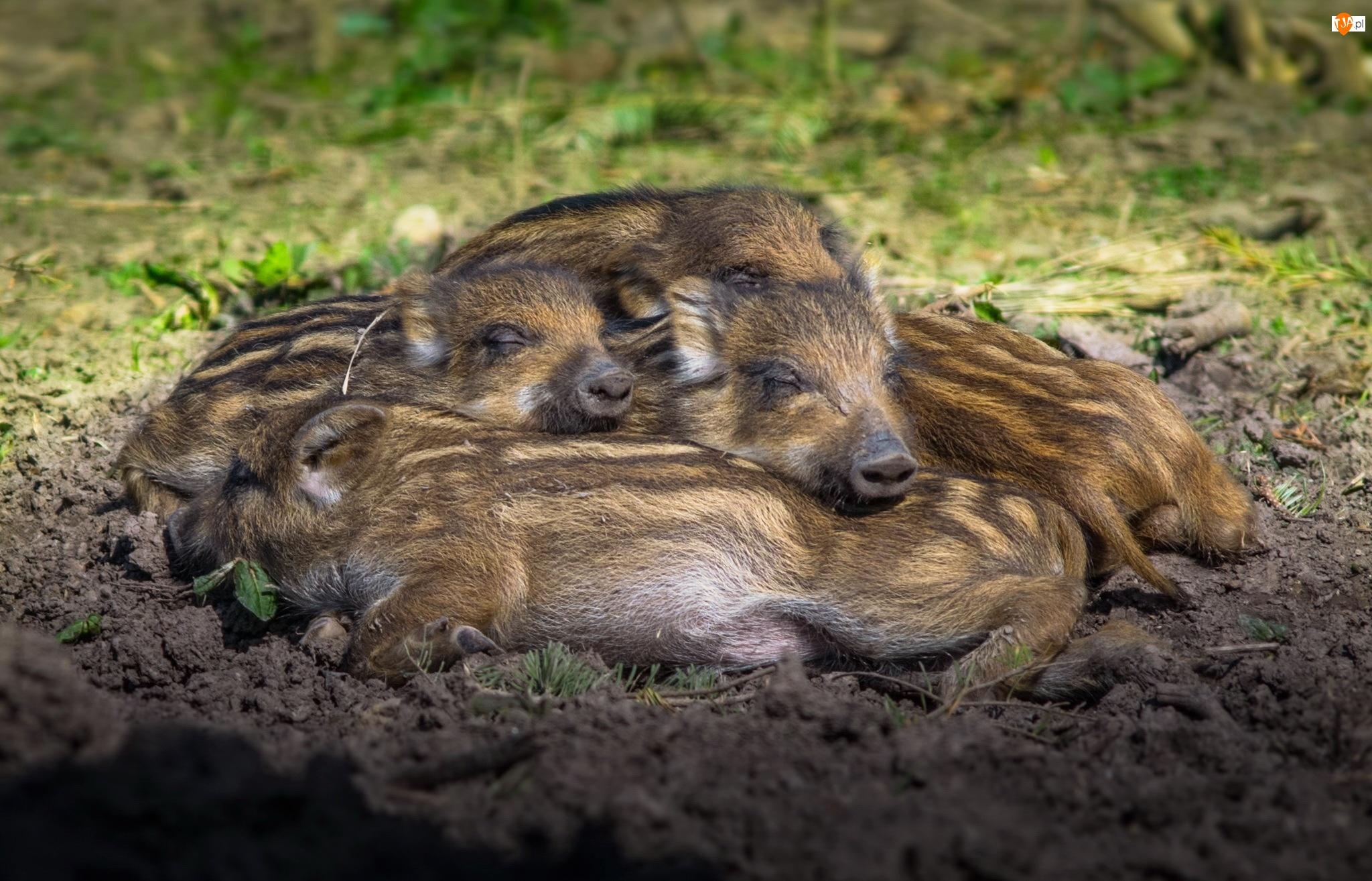 Dziki, Śpiące, Małe
