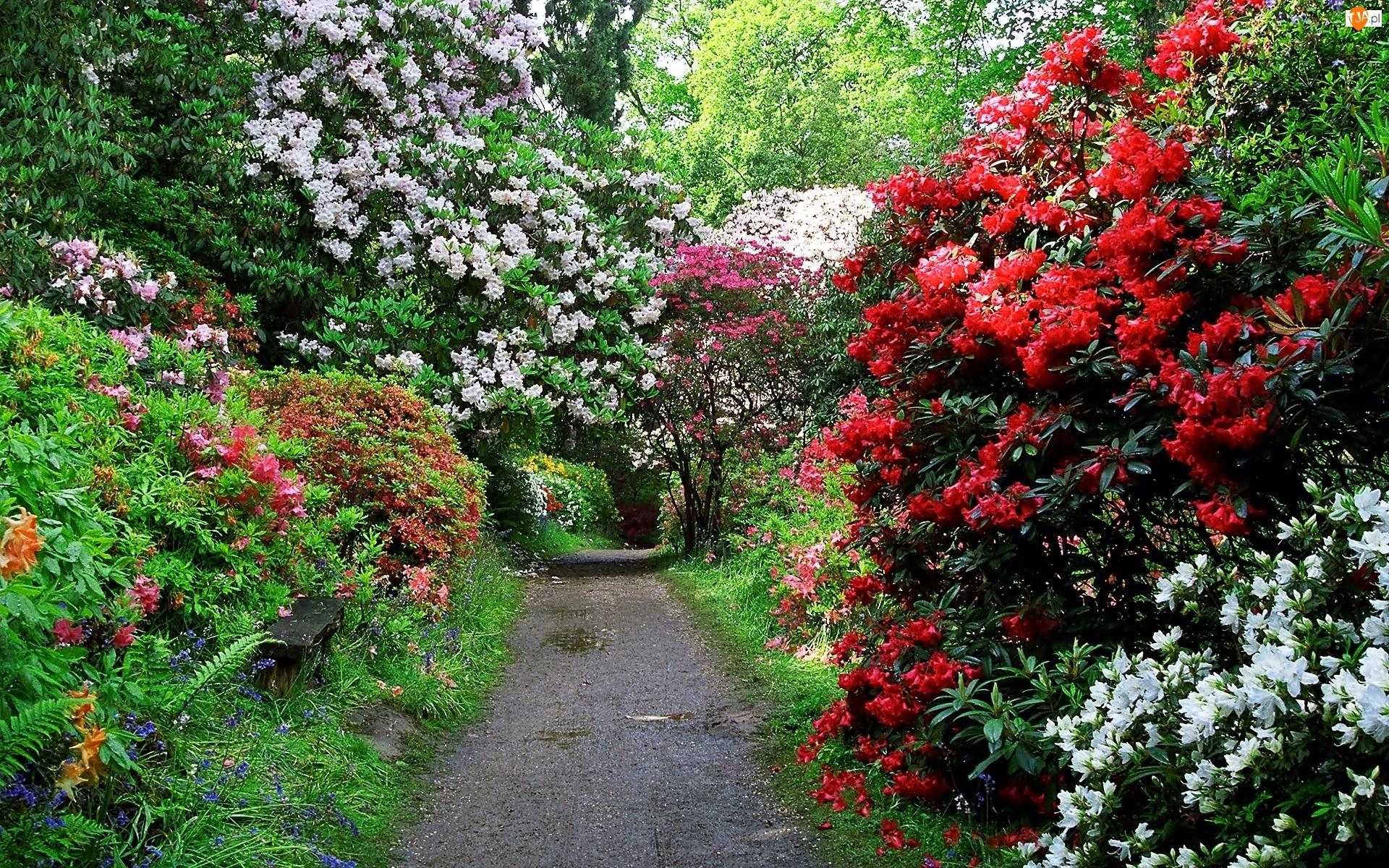 Wiosna, Rododendrony, Park, Aleja