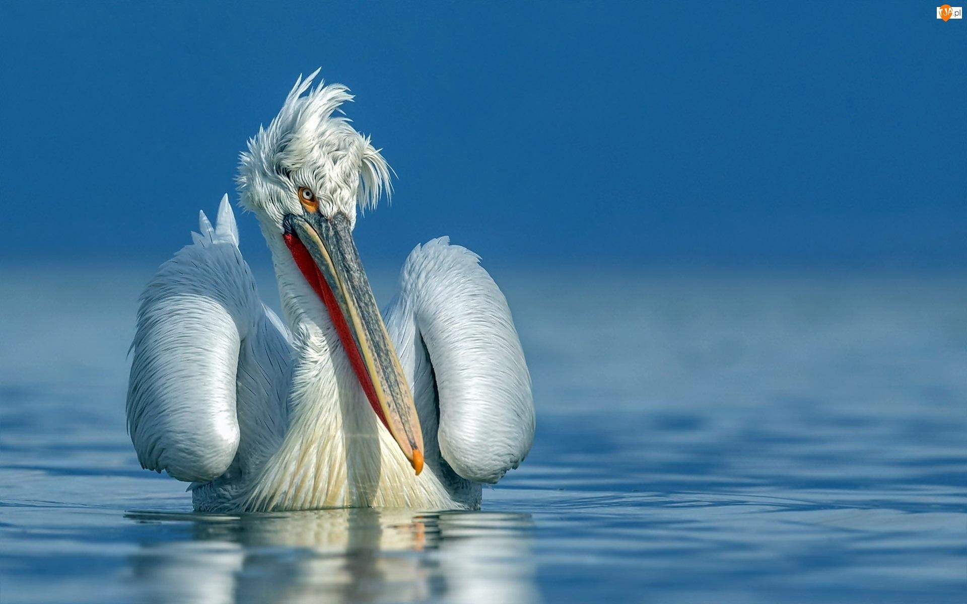 Woda, Rozczochrany, Pelikan