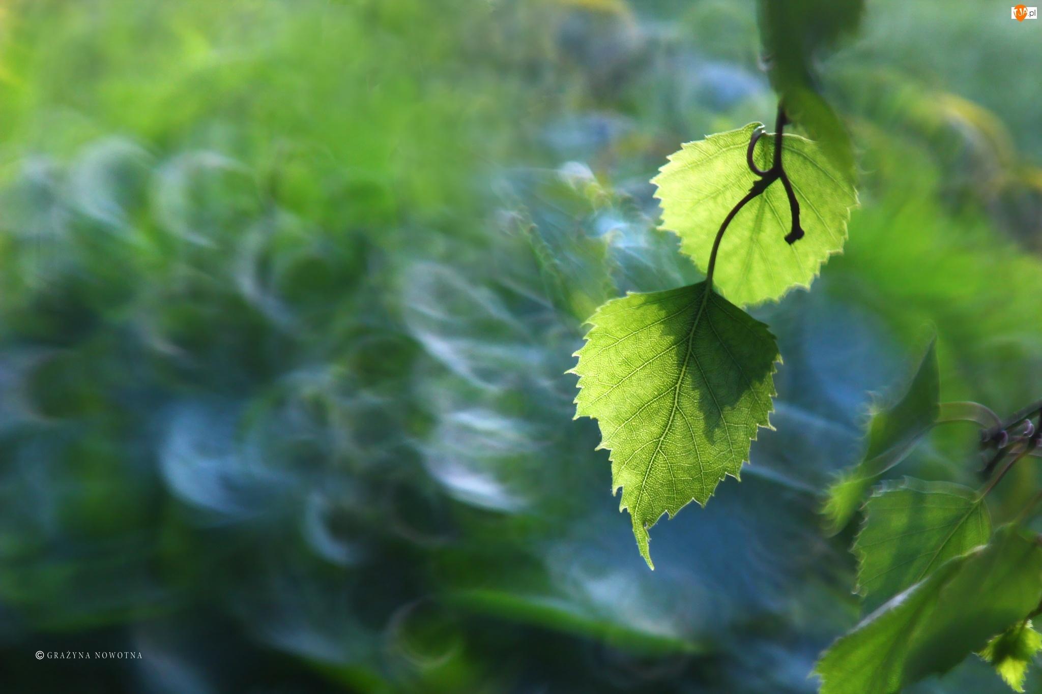 Brzoza, Zielone, Liście