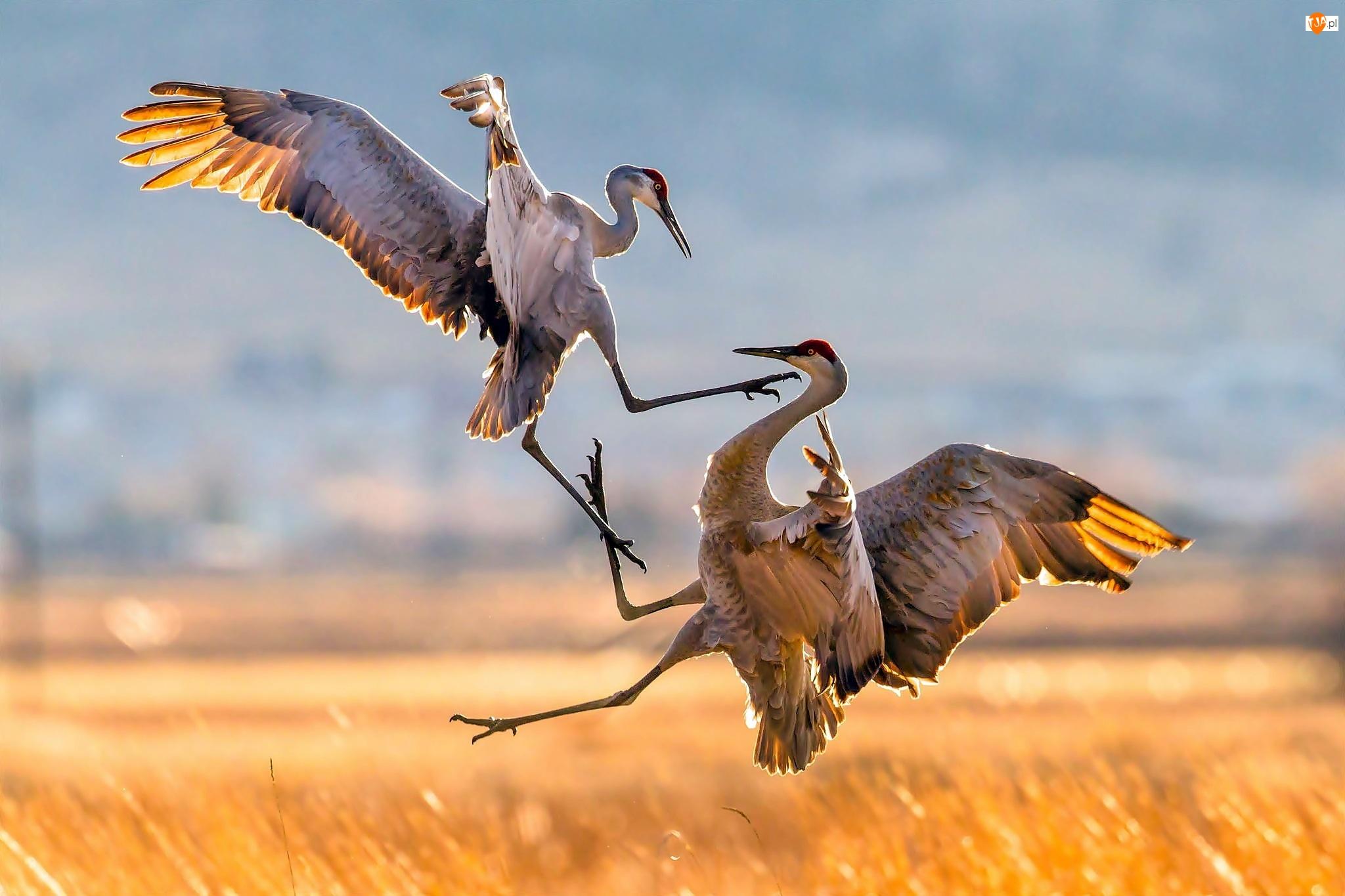 Walka, Żuraw Kanadyjski, Ptaki