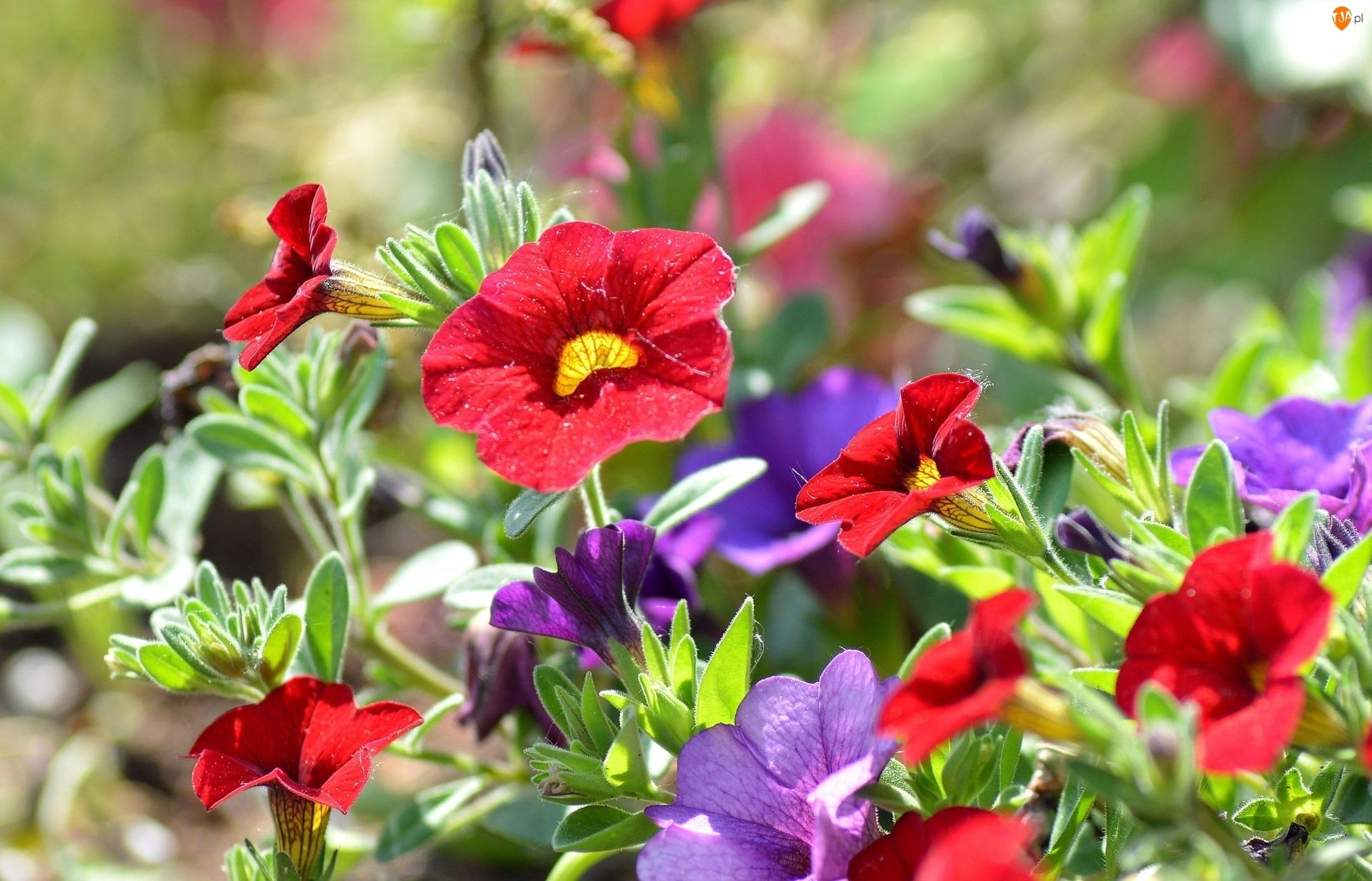 Kwiaty, Petunie, Kolorowe