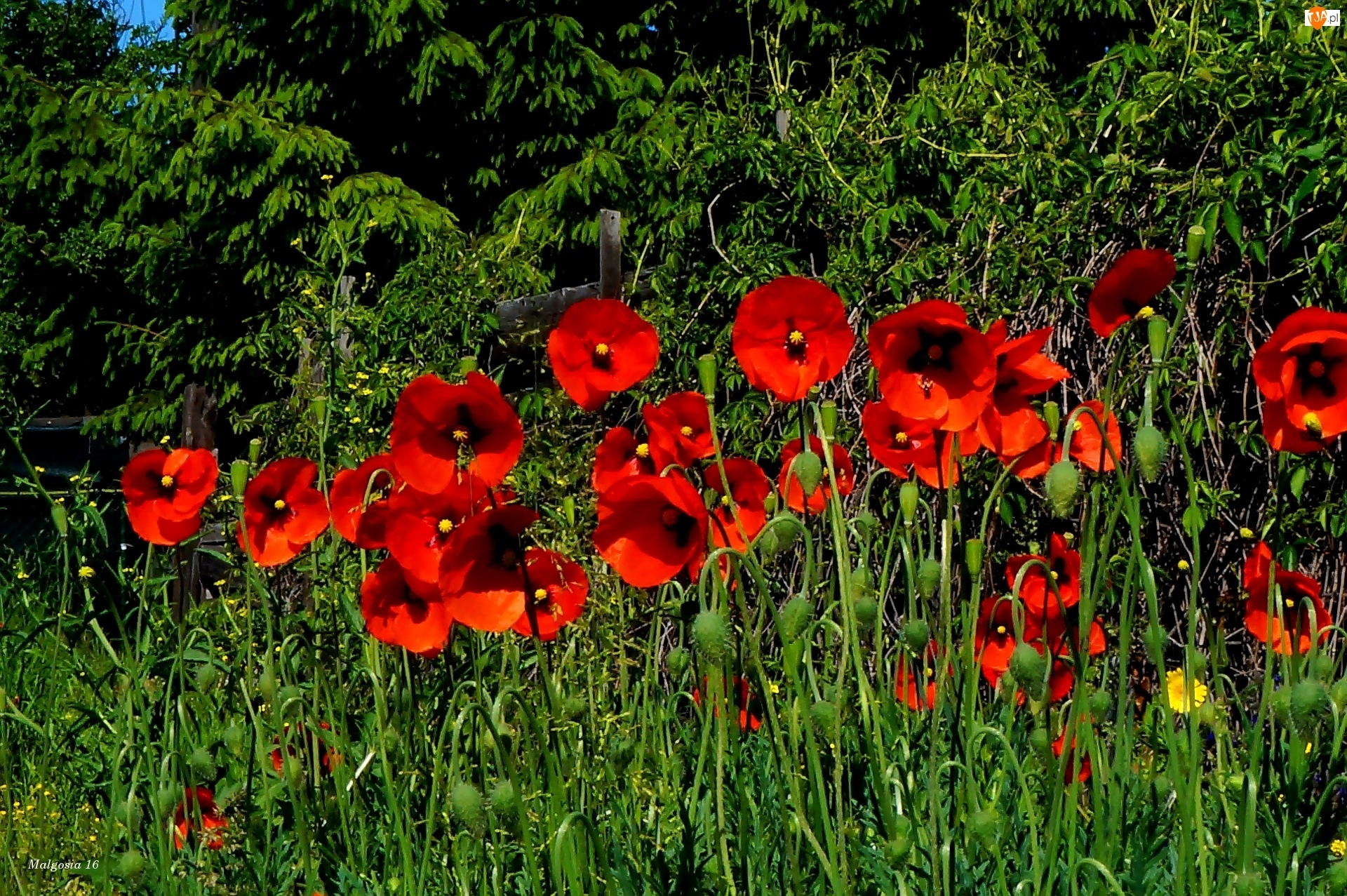 Maki, Kwiaty, Czerwone