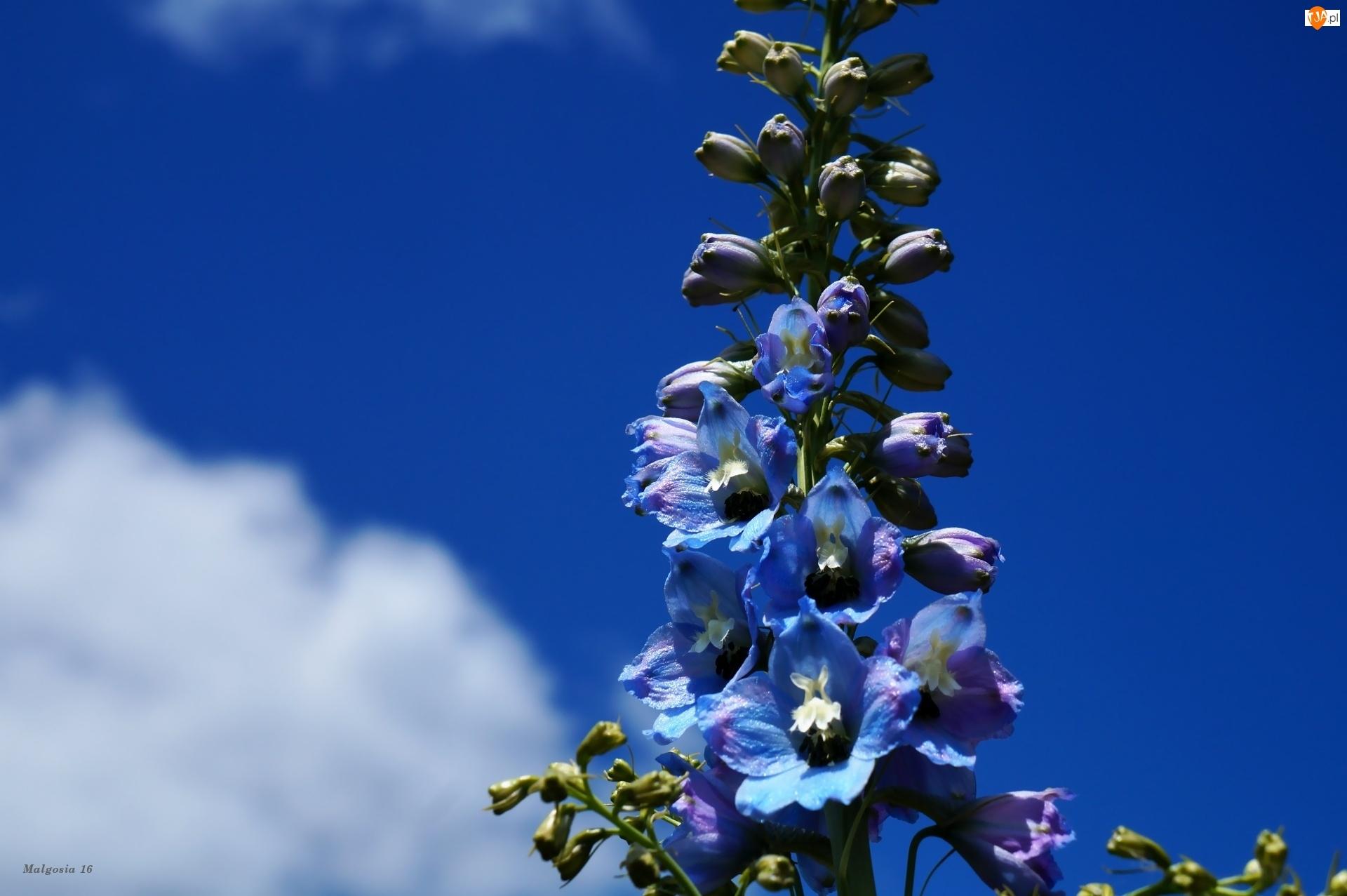 Ostróżka, Chmury, Kwiaty, Niebieskie, Niebo