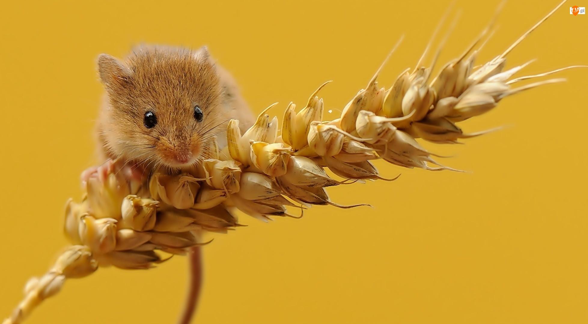 Myszka, Zboże