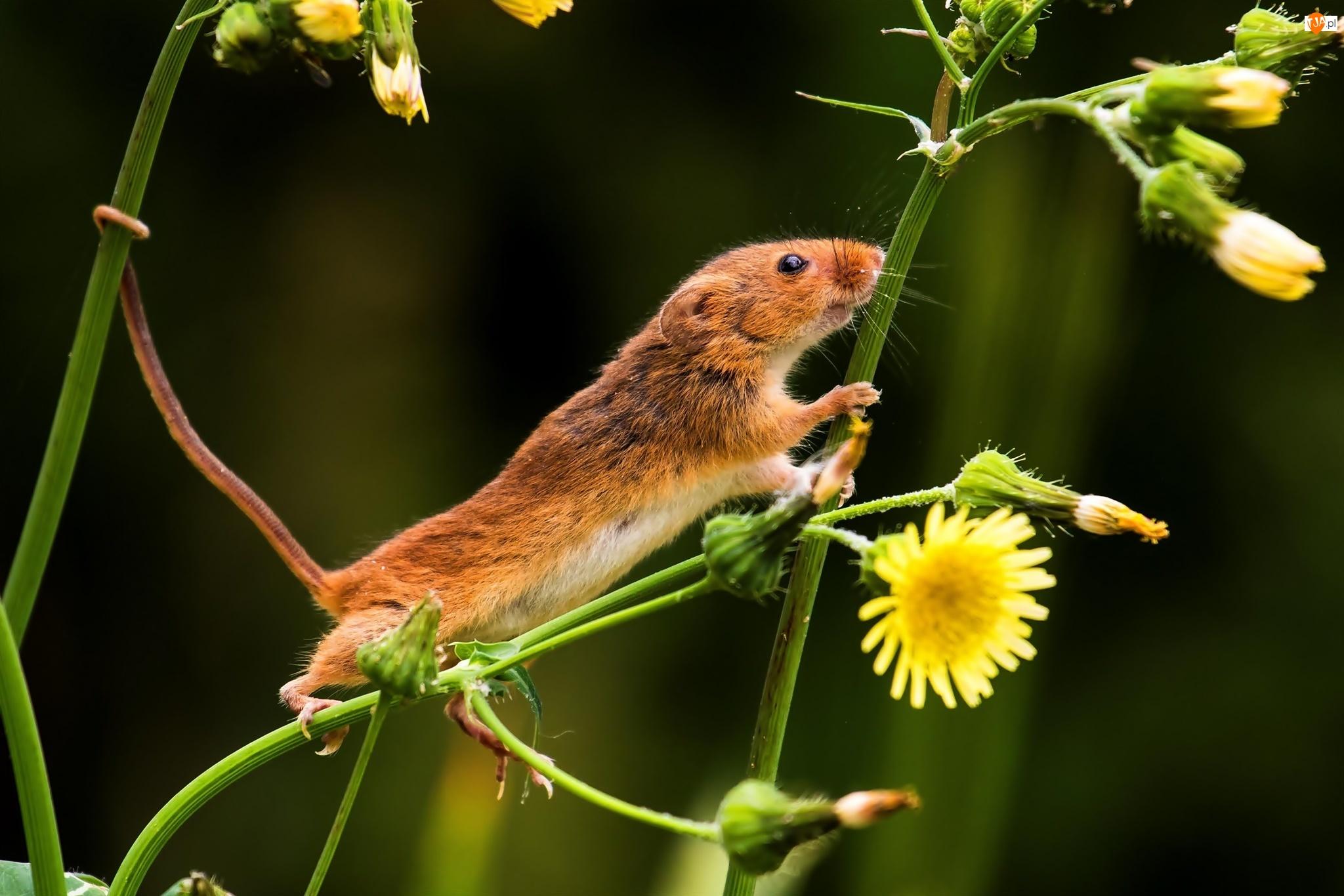 Myszka Badylarka, Kwiaty