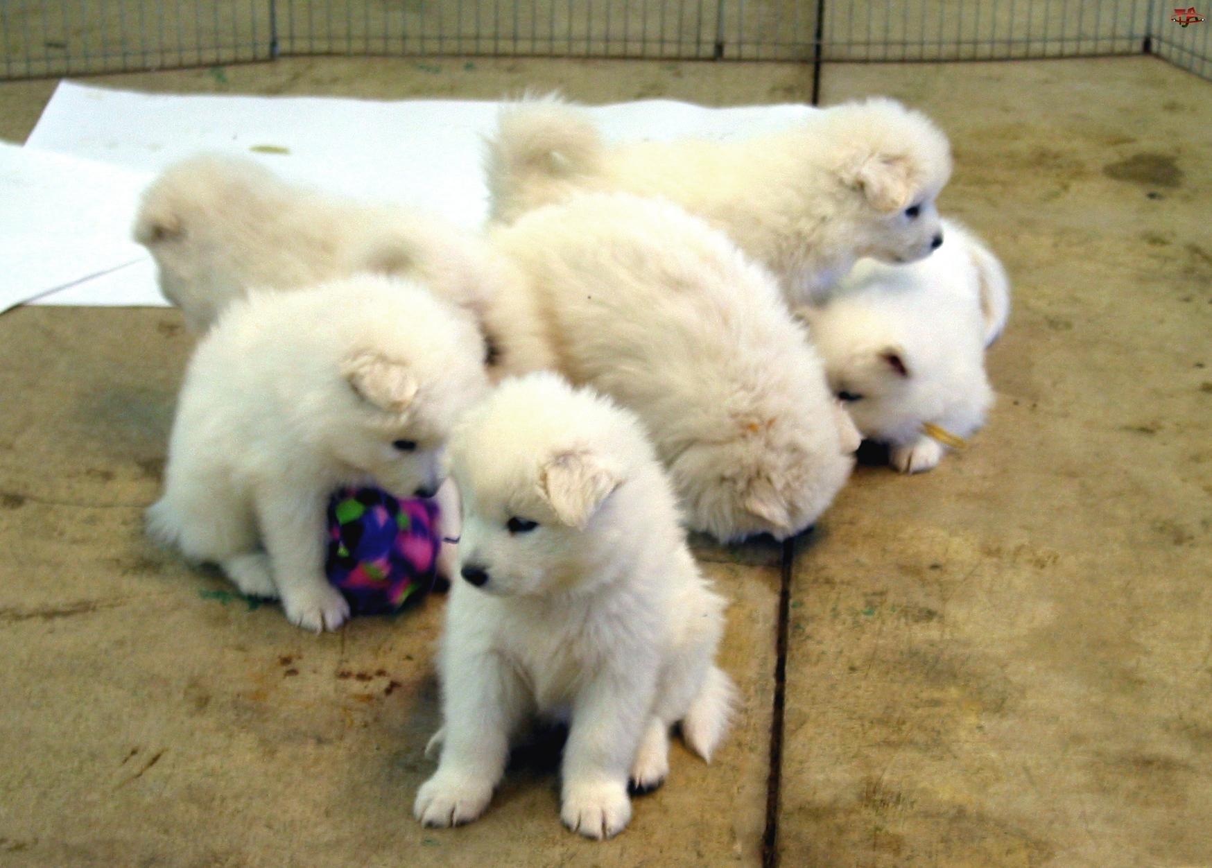 sześć szczeniaków, Samojed