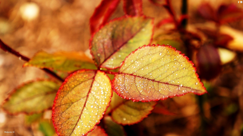 Jesienny, Liść