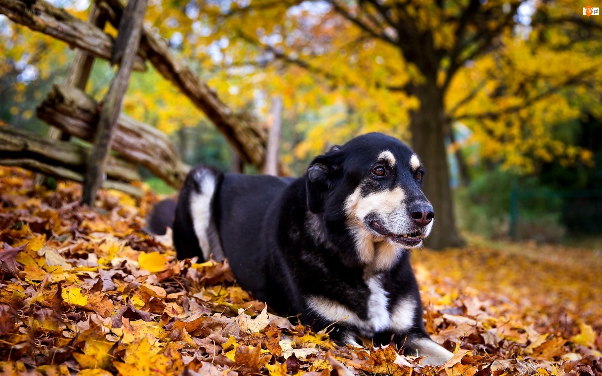 Liście, Pies, Jesienne