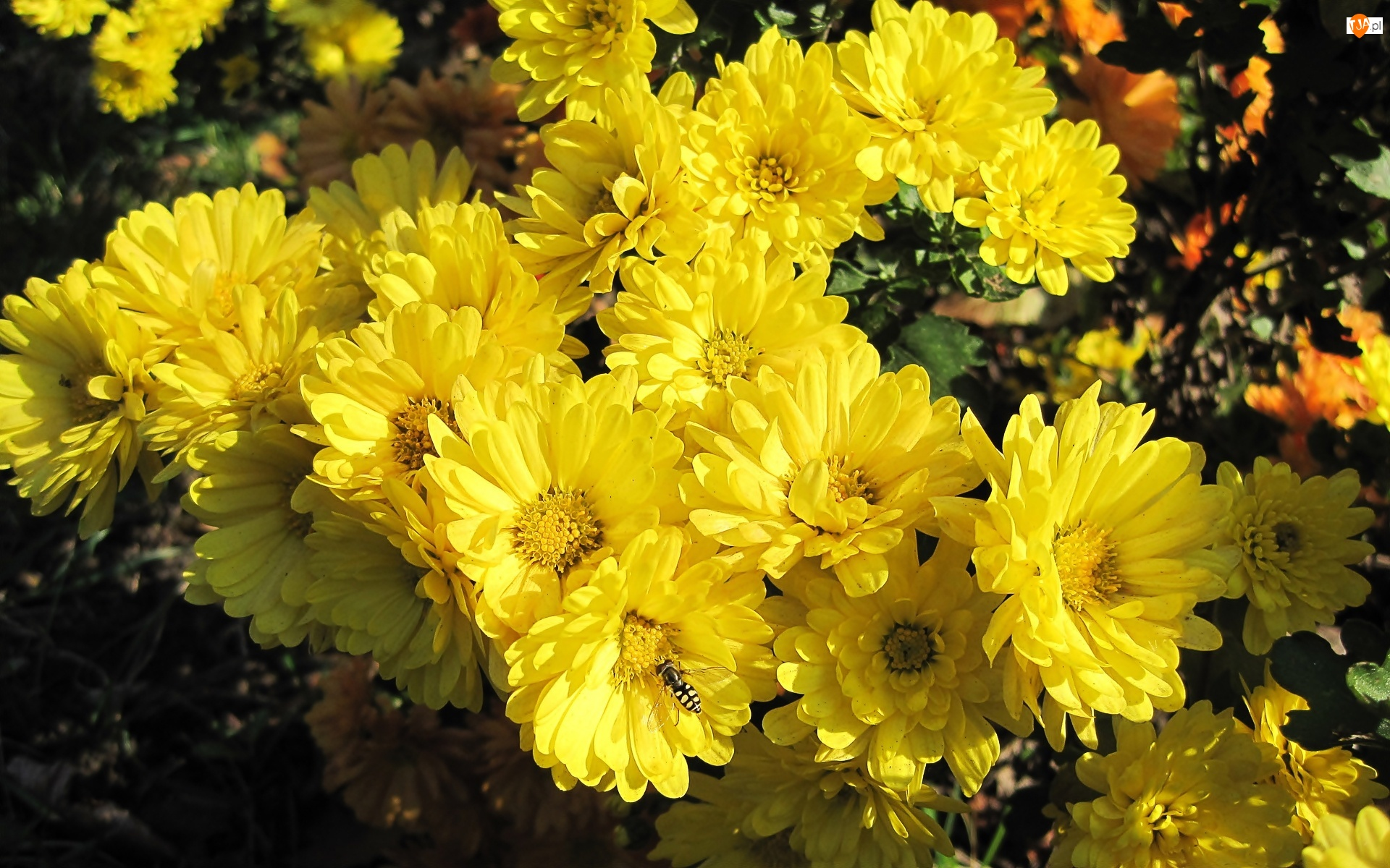 Owad, Żółte, Chryzantemy