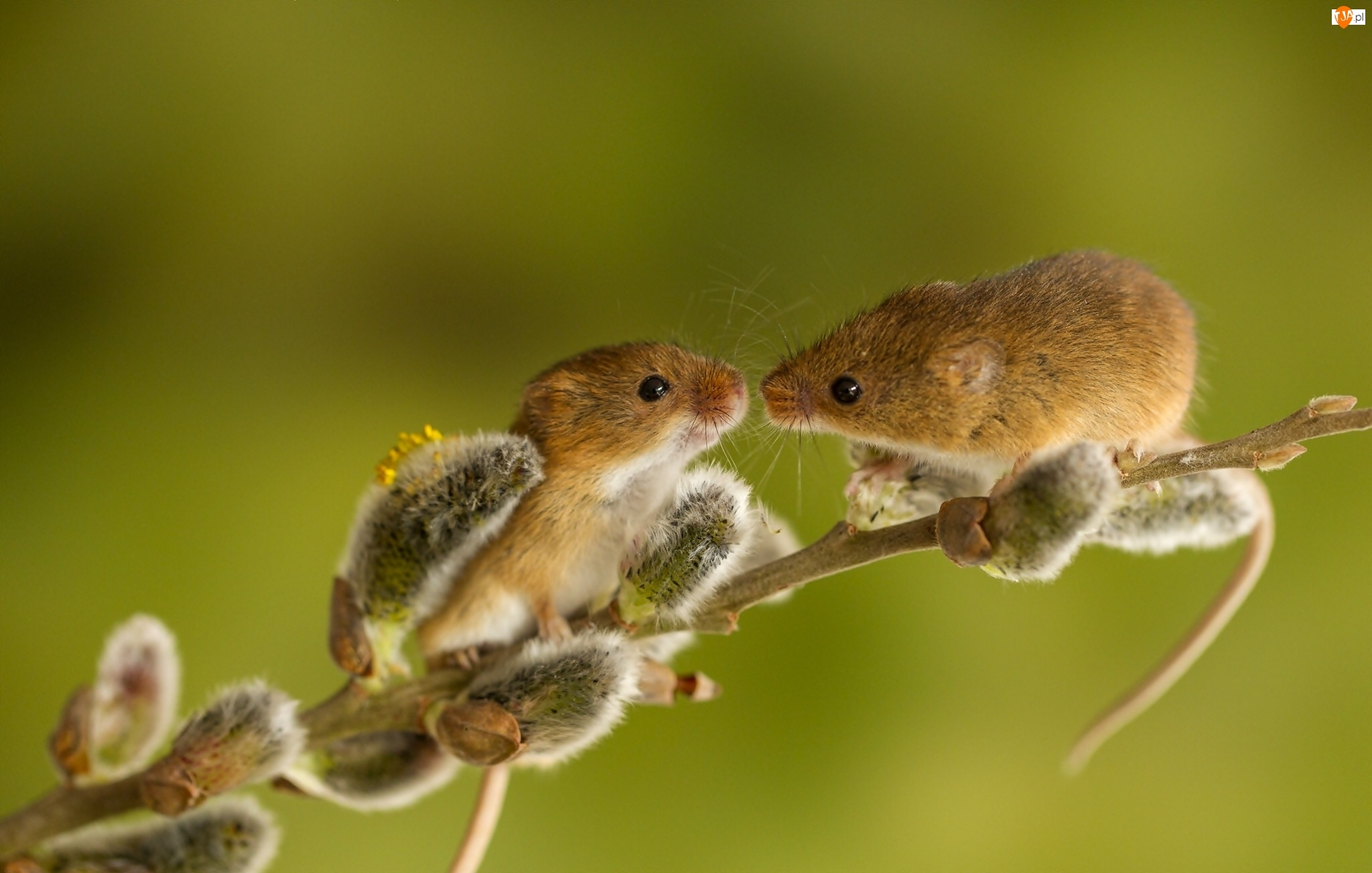 Gałązka, Dwie, Myszki, Słodkie, Pocałunek