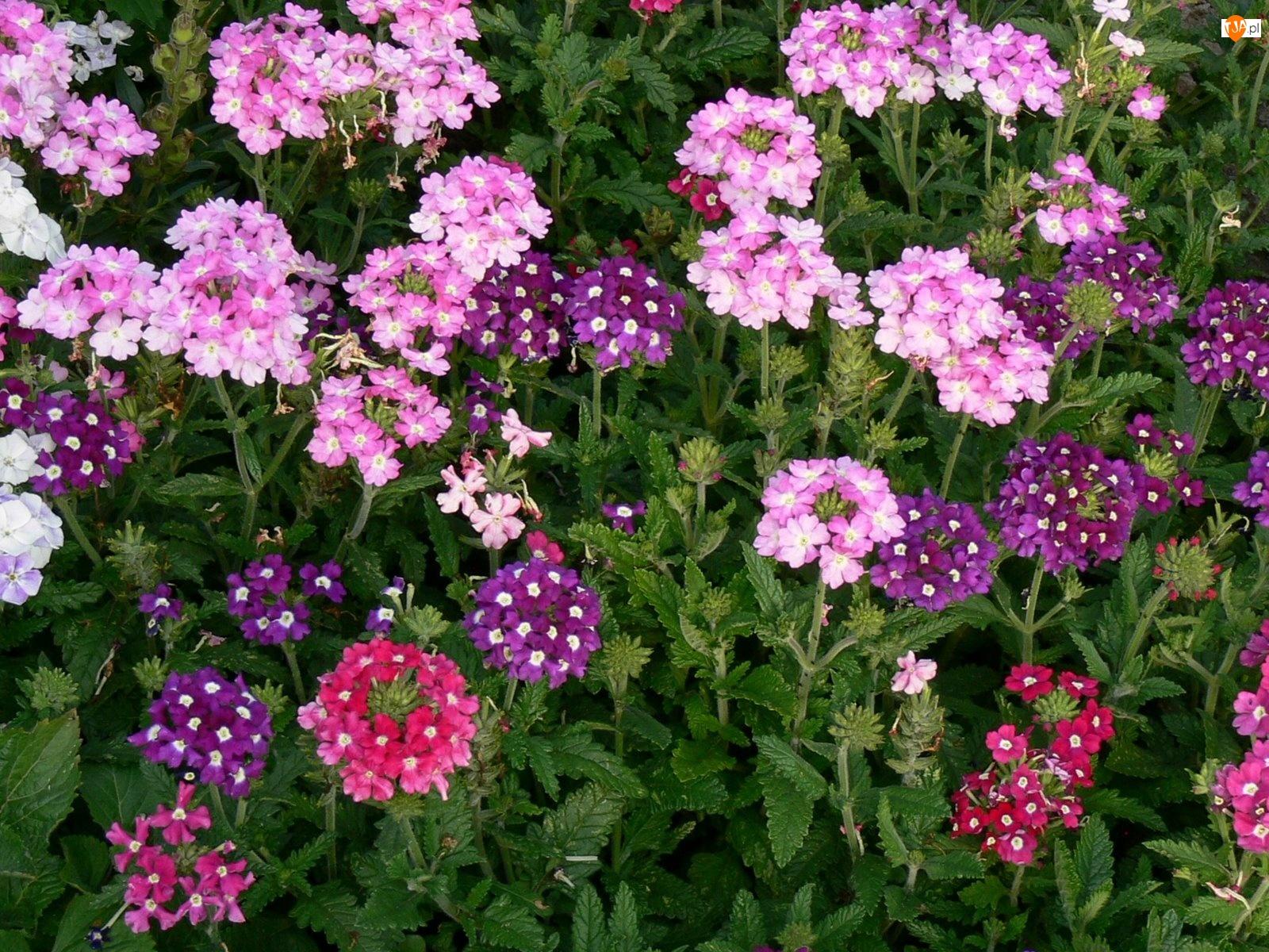 Kwiatki, Różowe, Fioletowe