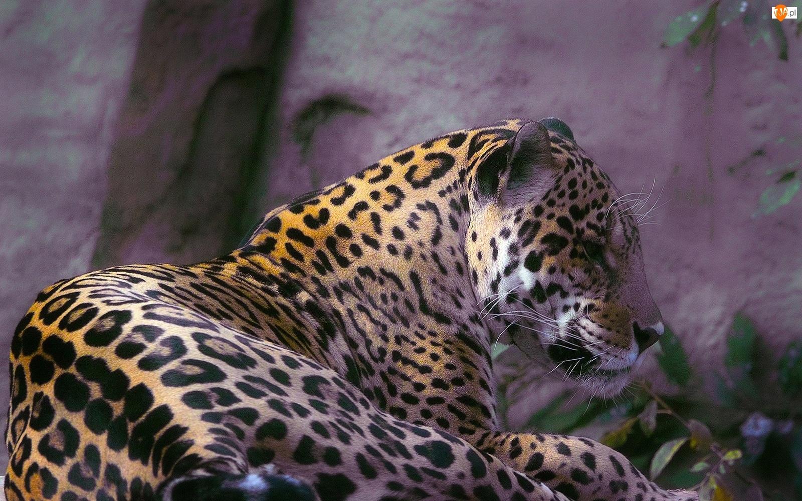 Leżący, Jaguar