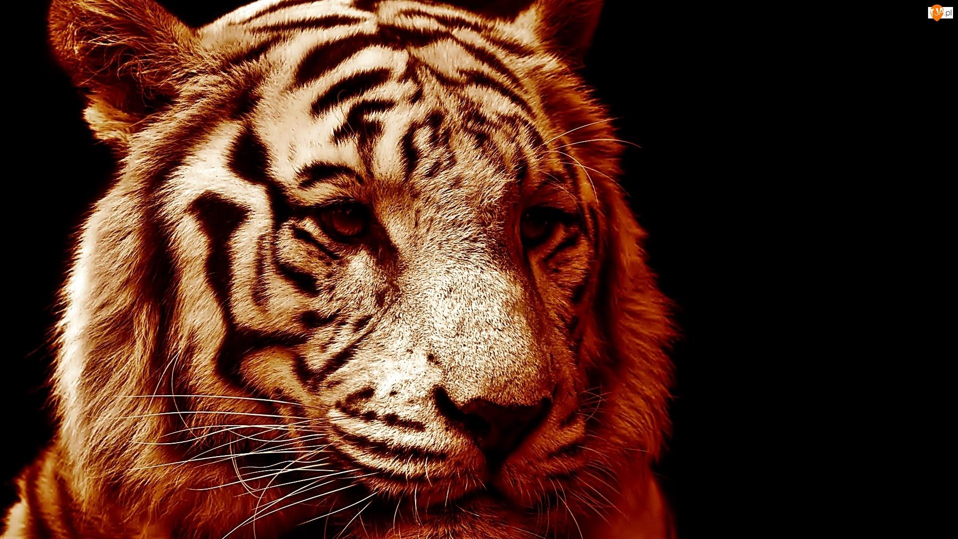 Sepia, Głowa, Biały Tygrys