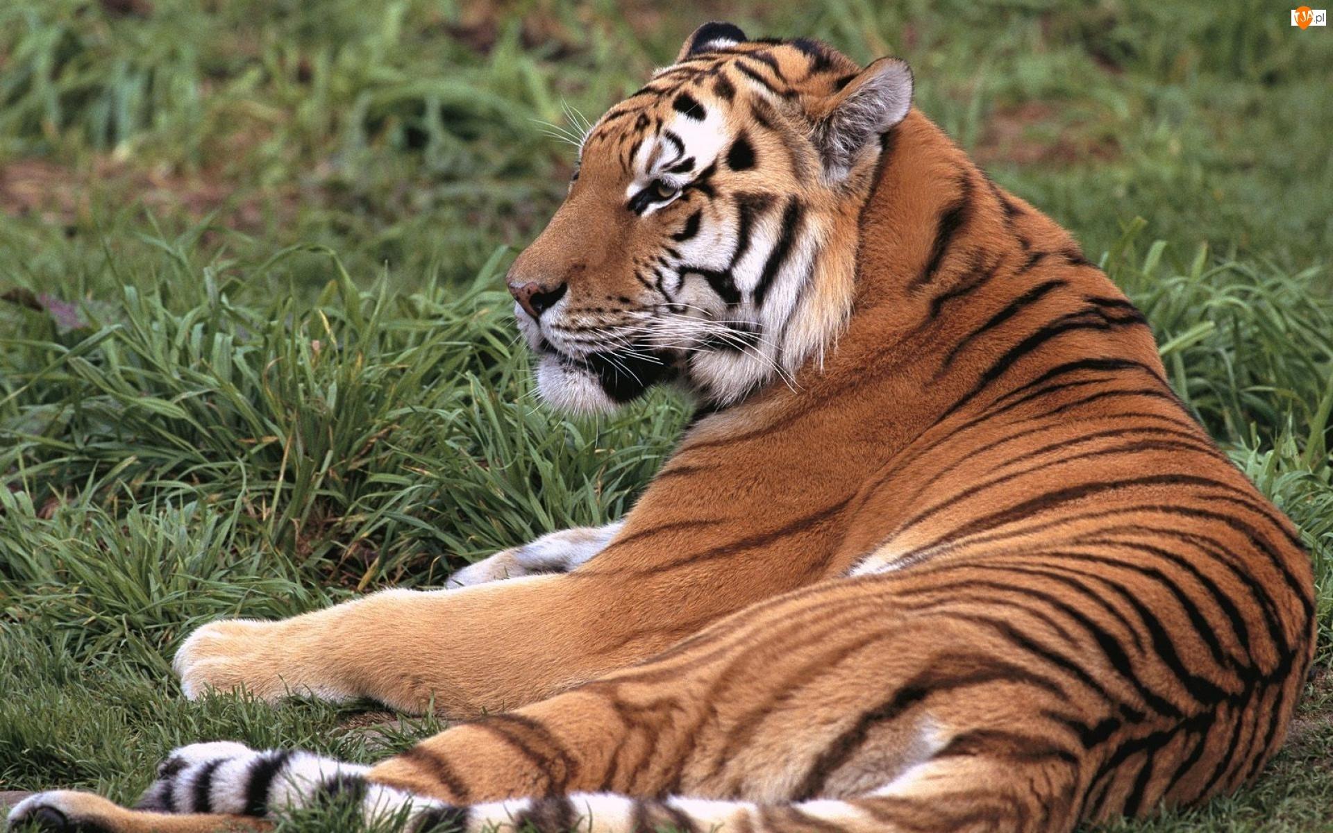Leżący, Tygrys