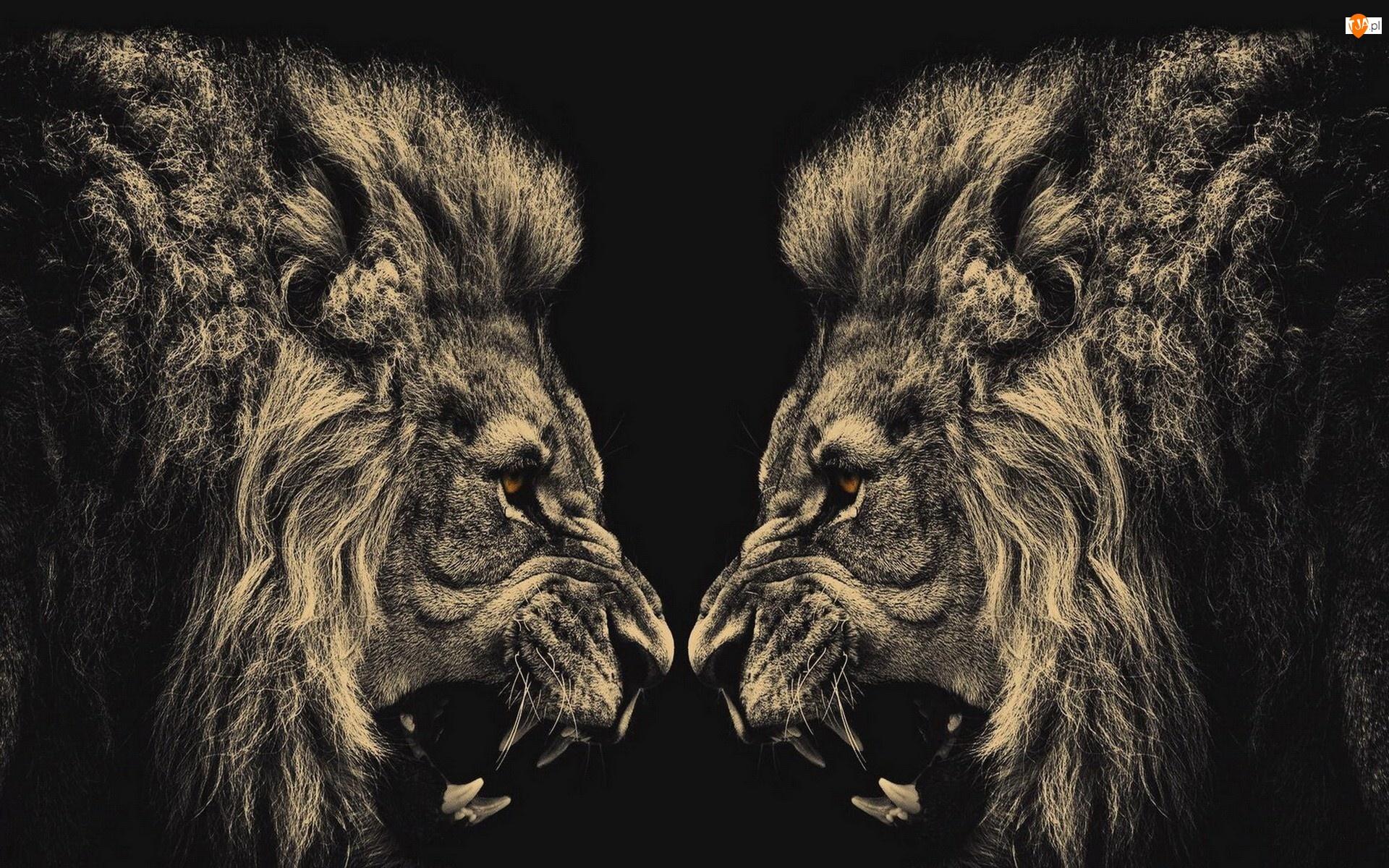 Samce, Zwierzęta, Brązowe oczy, Lwy, Kły