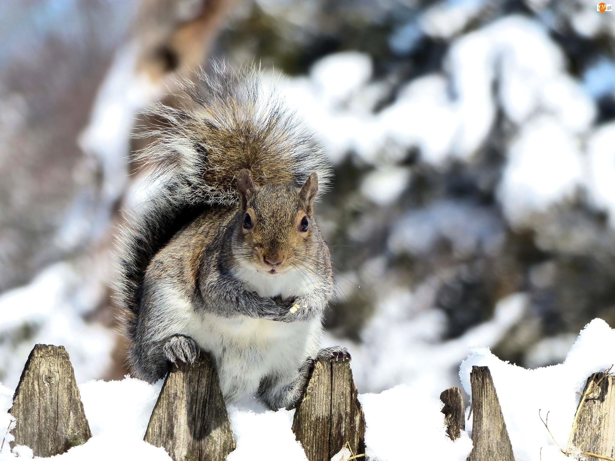 Płot, Zima, Wiewiórka