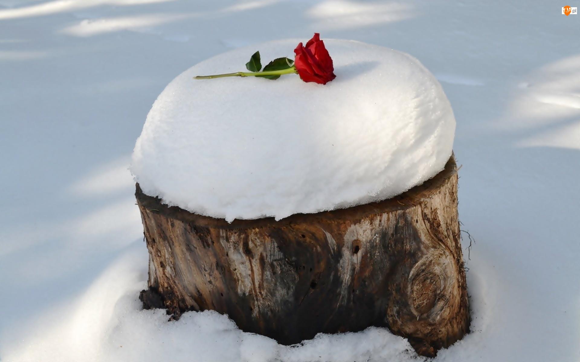 Różyczka, Zima, Pień, Drzewa