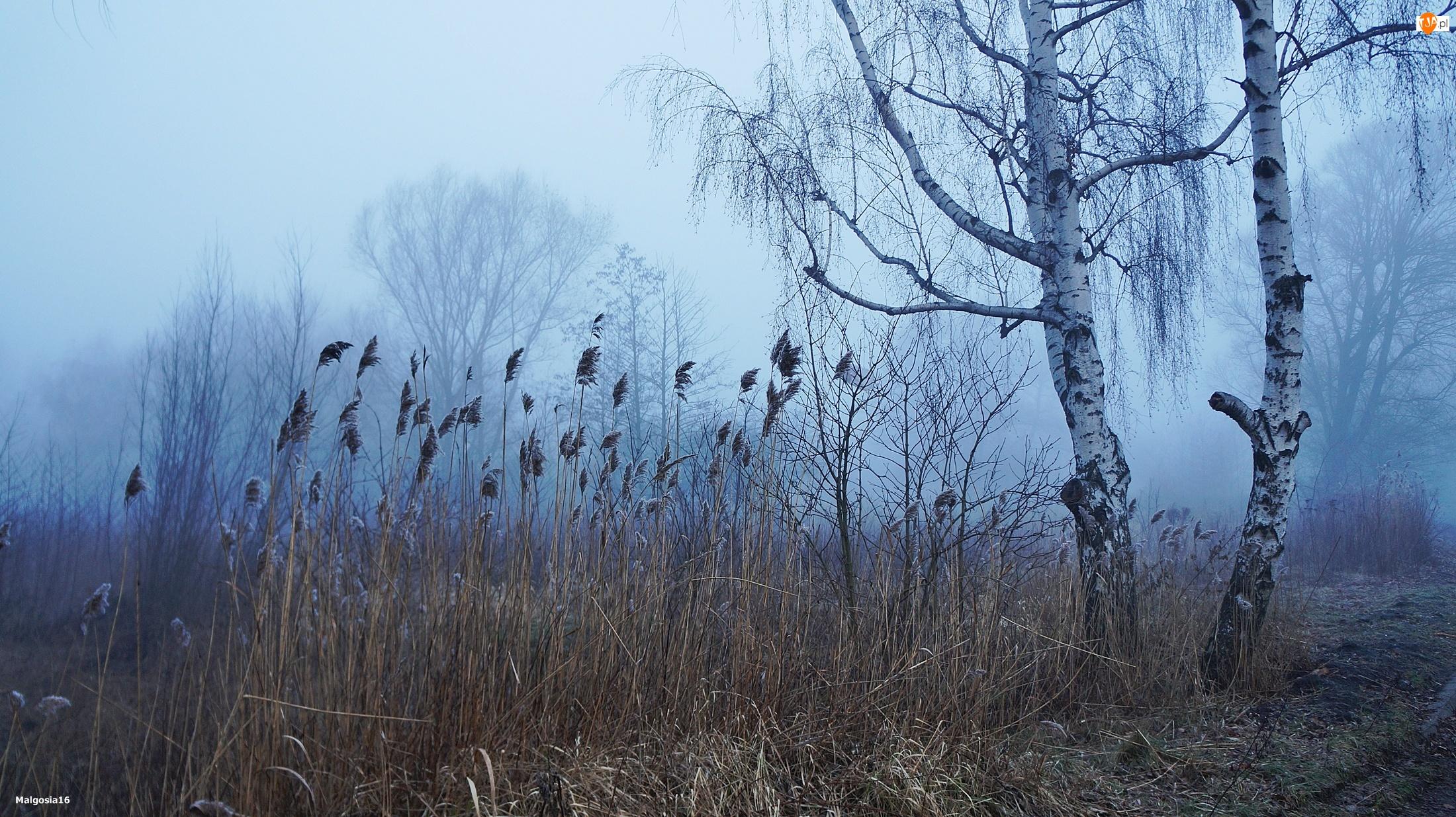 Mgła, Trzcina, Drzewa, Brzoza