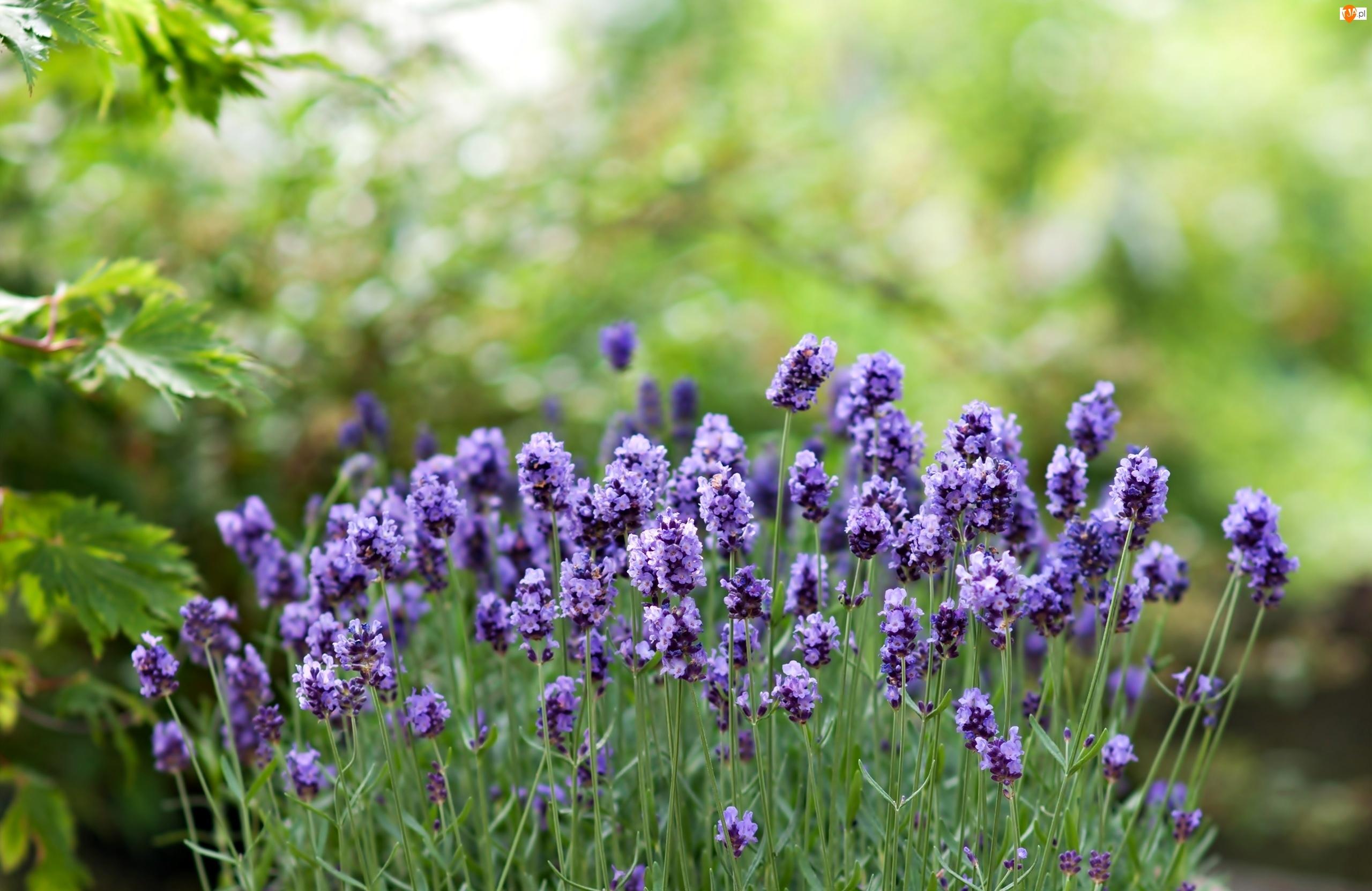 Lawenda, Niebieskie, Kwiaty