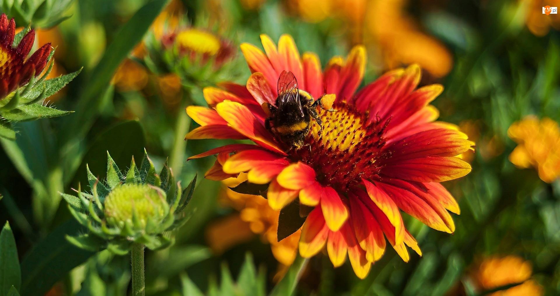 Trzmiel, Gailardia oścista, Kolorowy, Kwiat