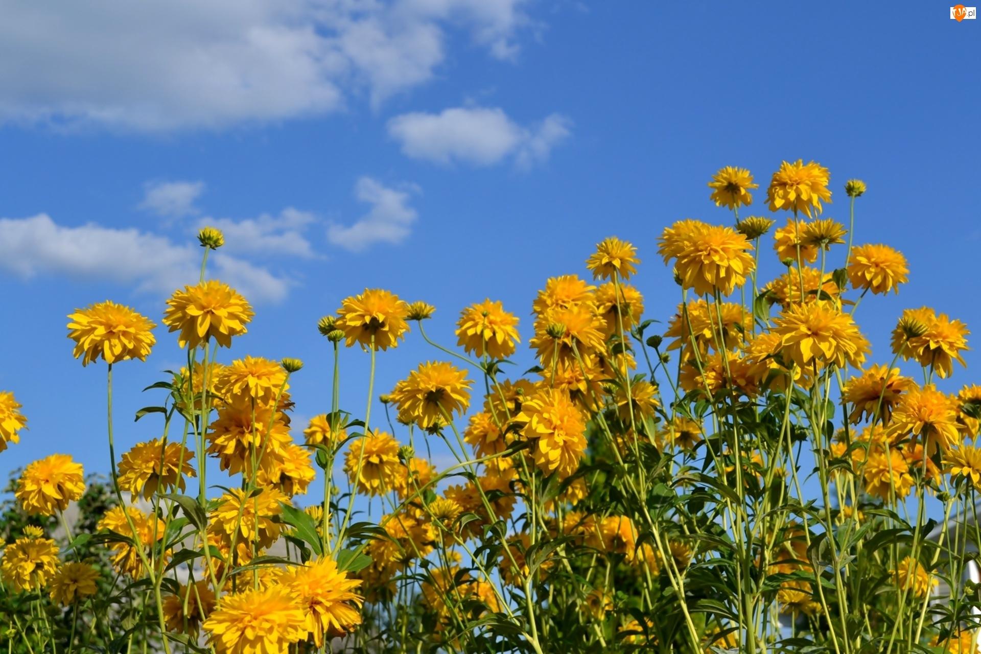 Złotlin, Żółte, Kwiaty