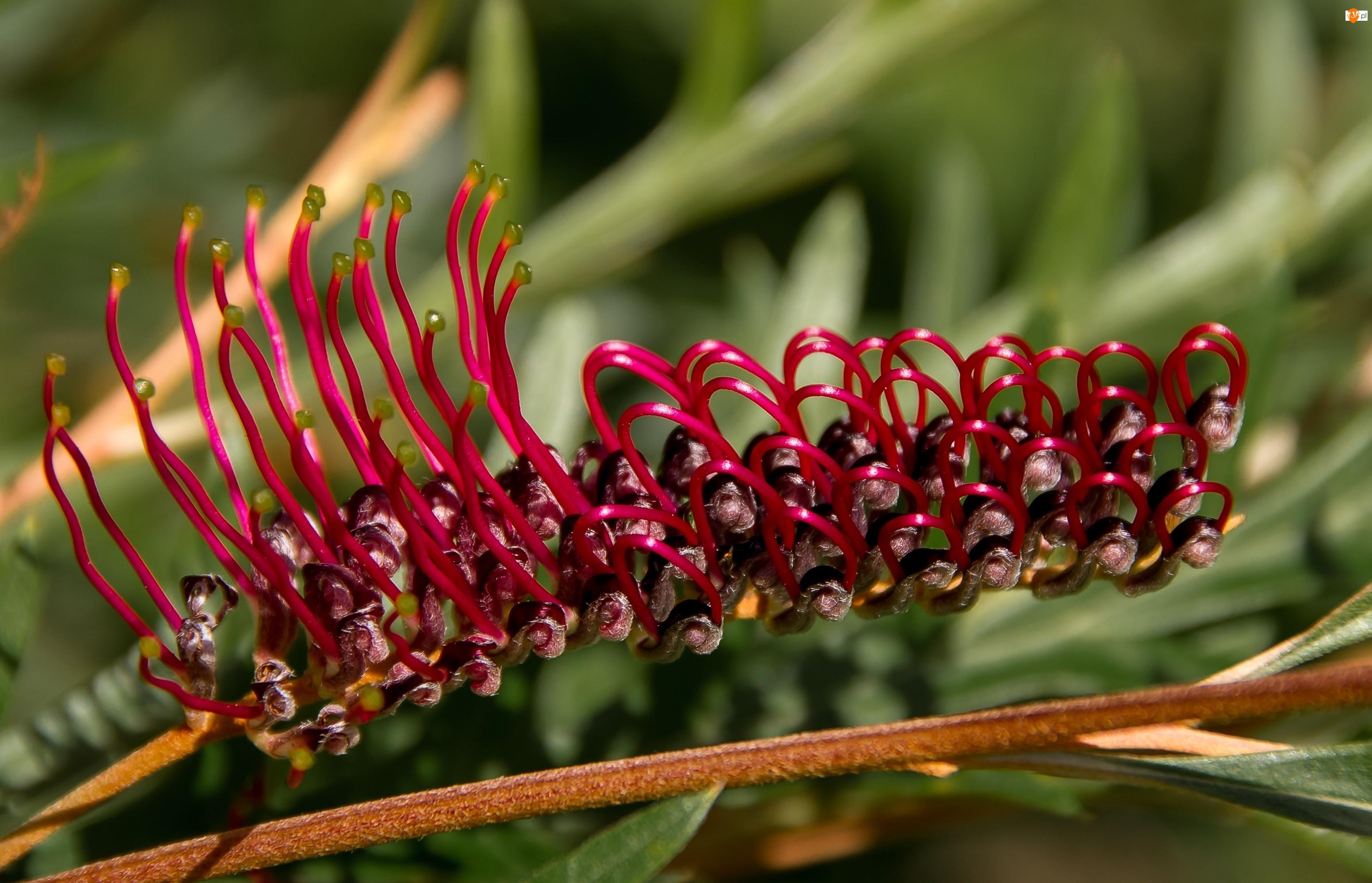 Grevillea, Kwiat australijski