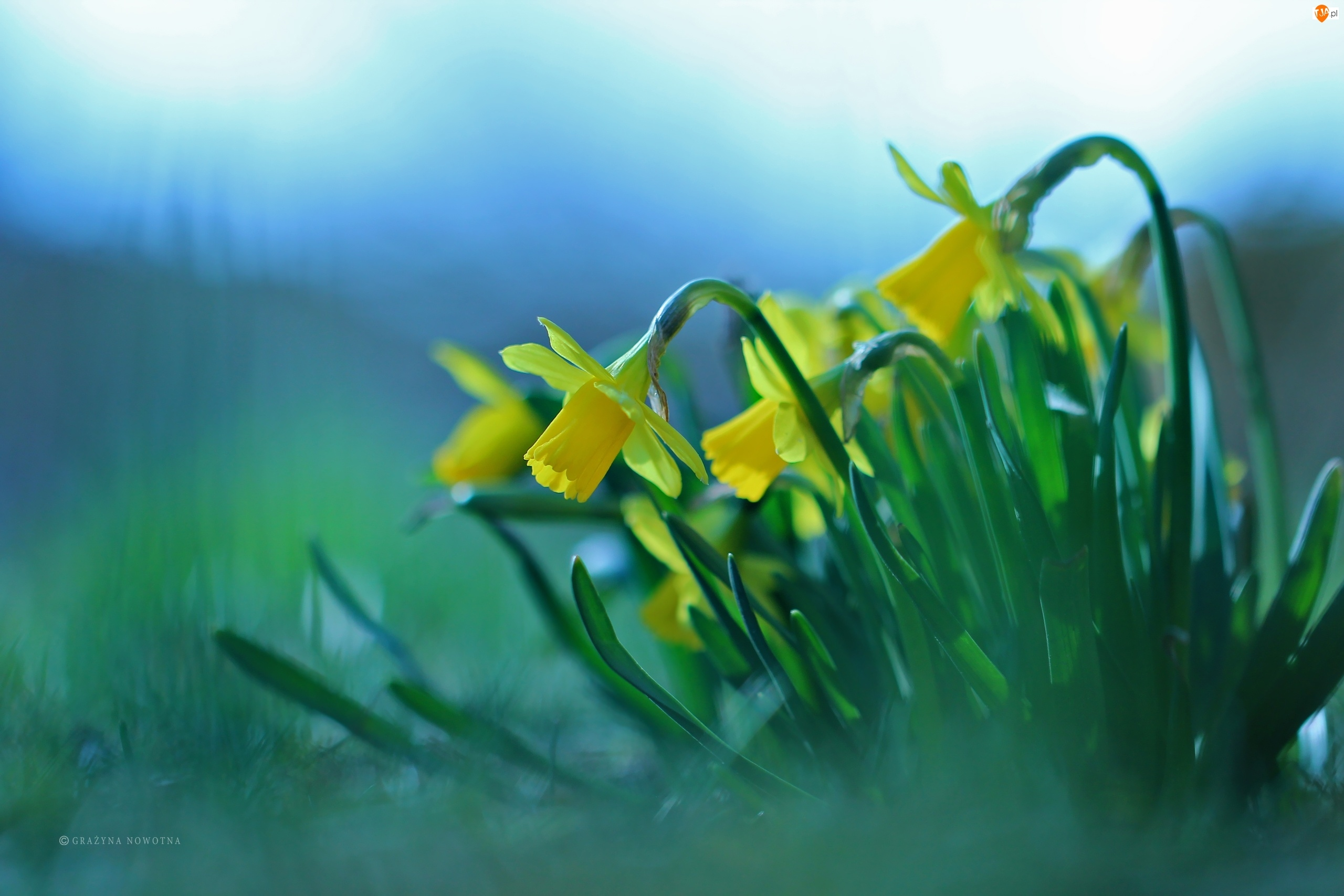 Kwiaty, Żonkile, Żółte