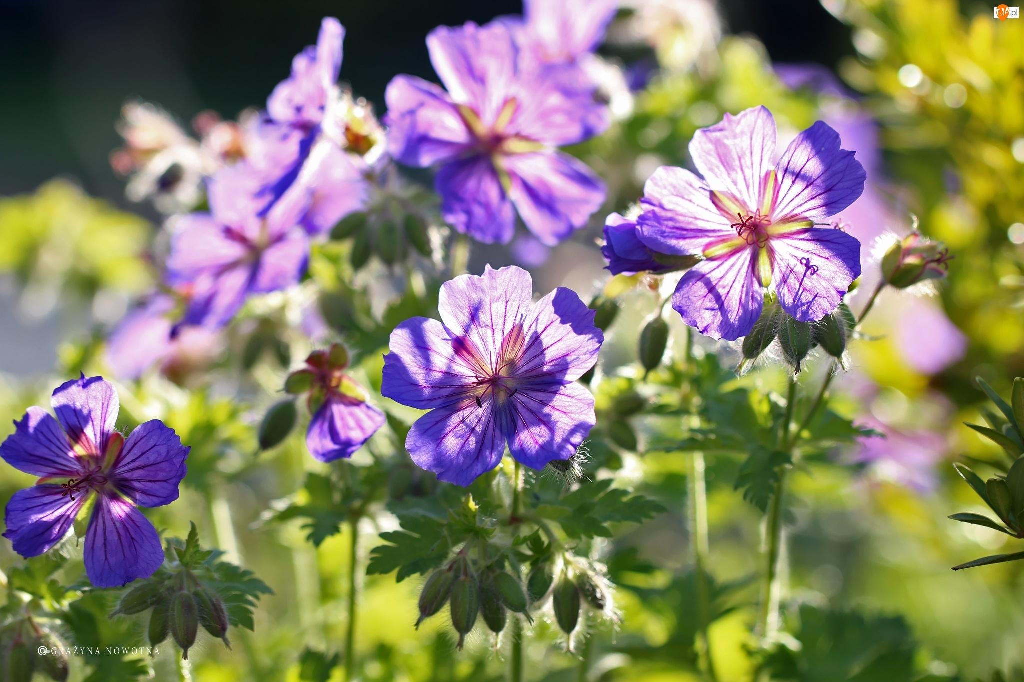 Kwiaty, Bodziszek, Fioletowe