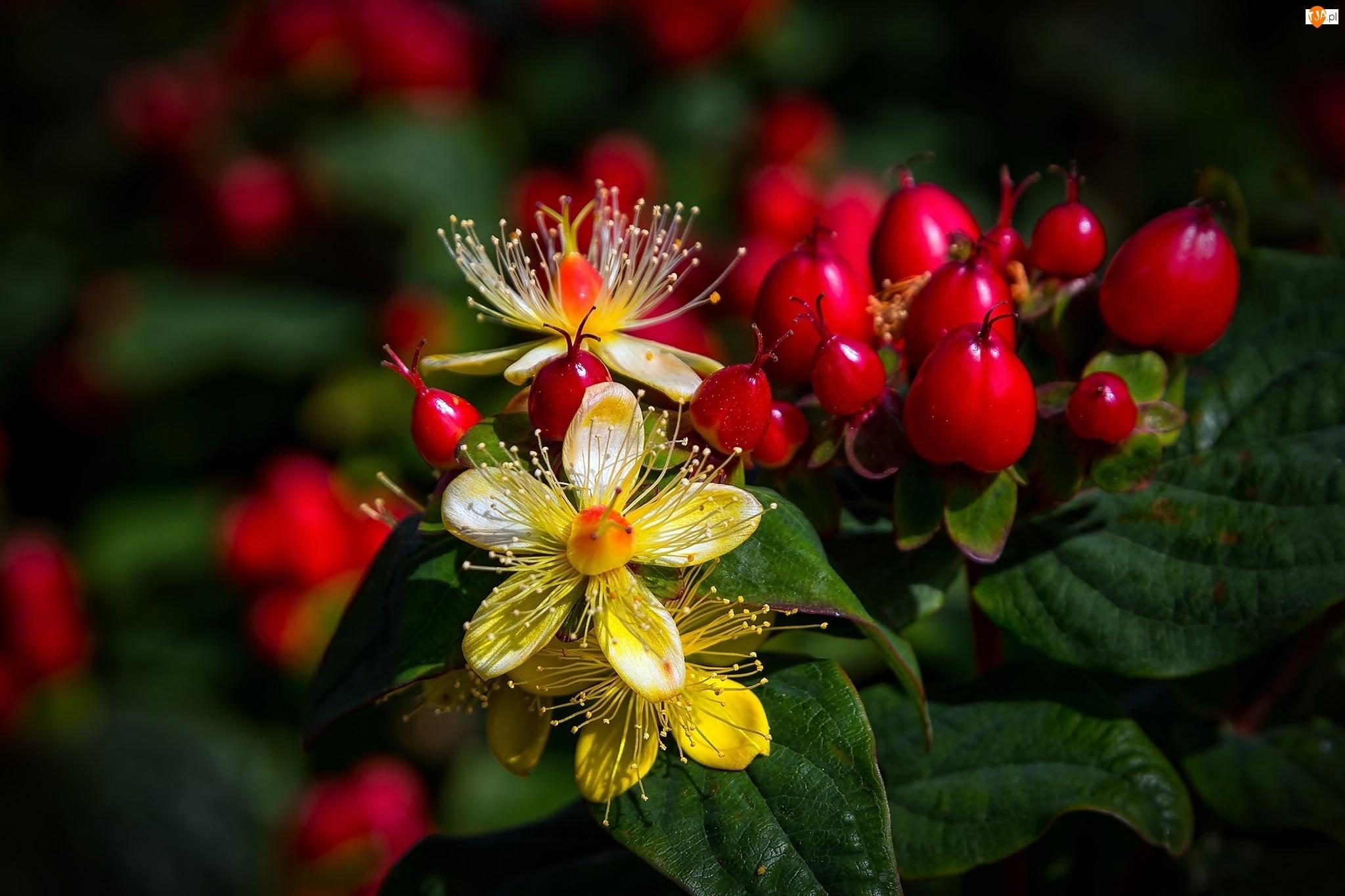 Dziurawiec Bezwonny, Roślina, Kwiaty, Jagody