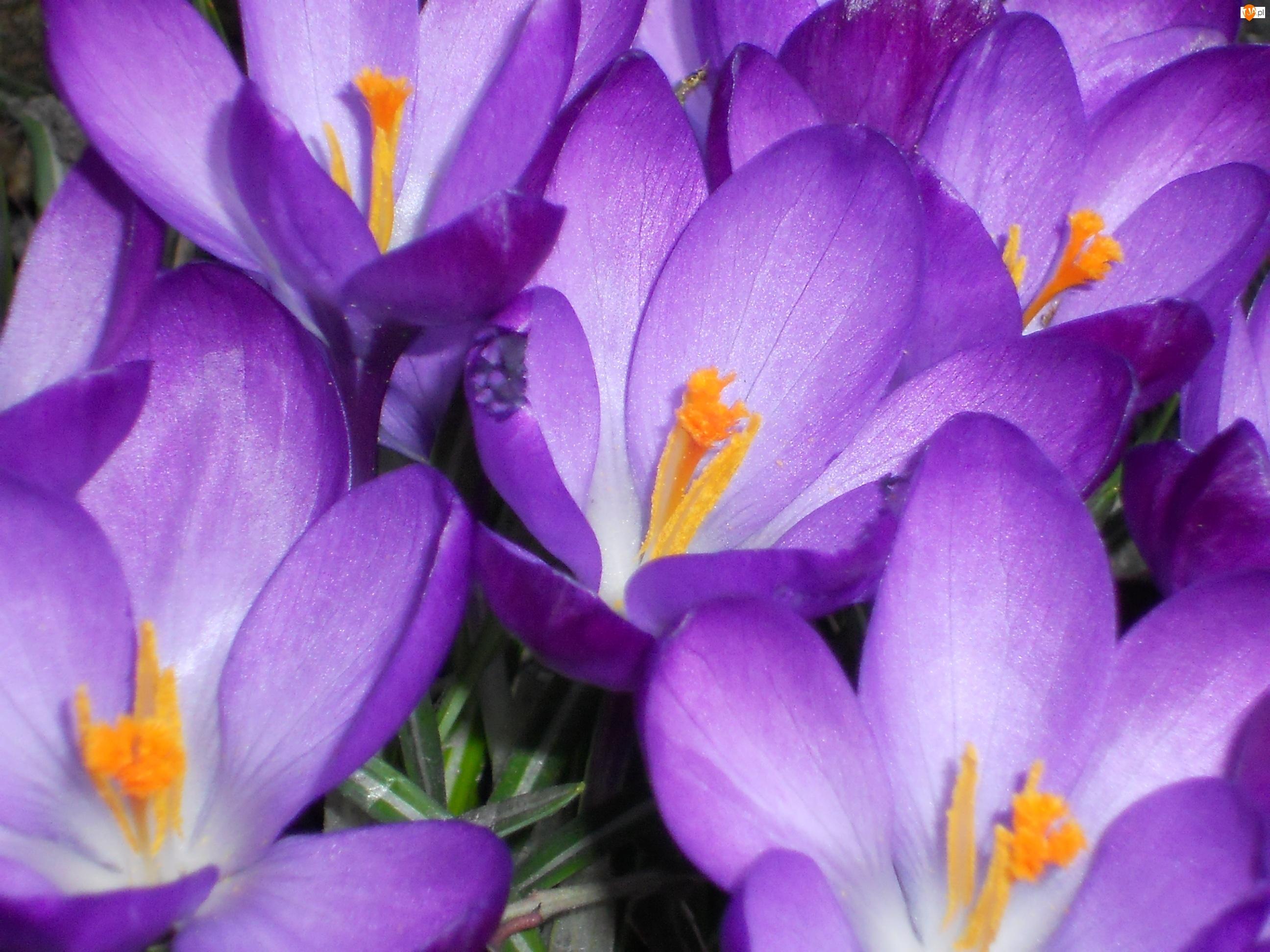 Przyroda, Wiosna, Kwiaty, Krokusy