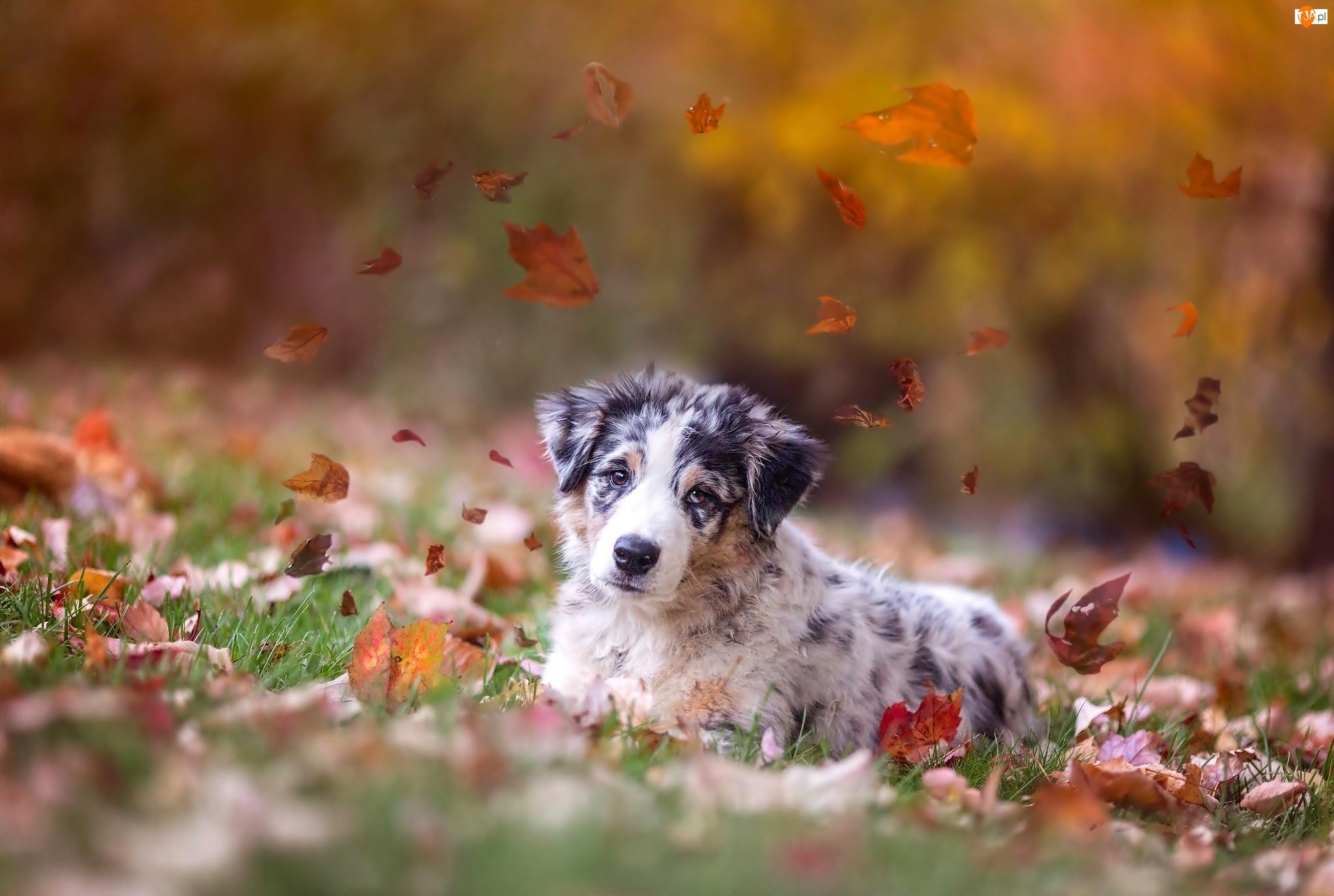 Jesienne, Australijski, Pies, Jesień, Liście, Owczarek, Spojrzenie