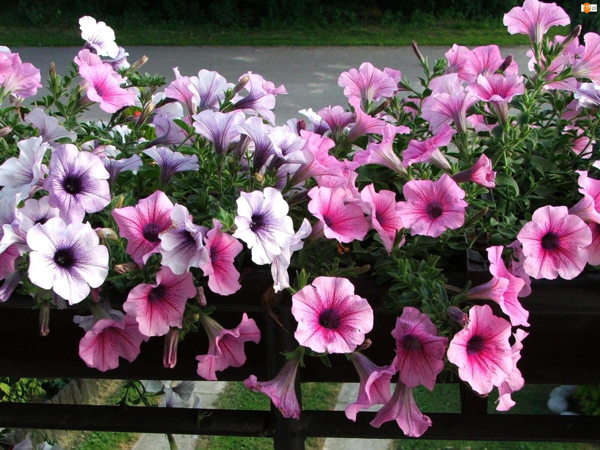 Petunie, Różowo, Białe