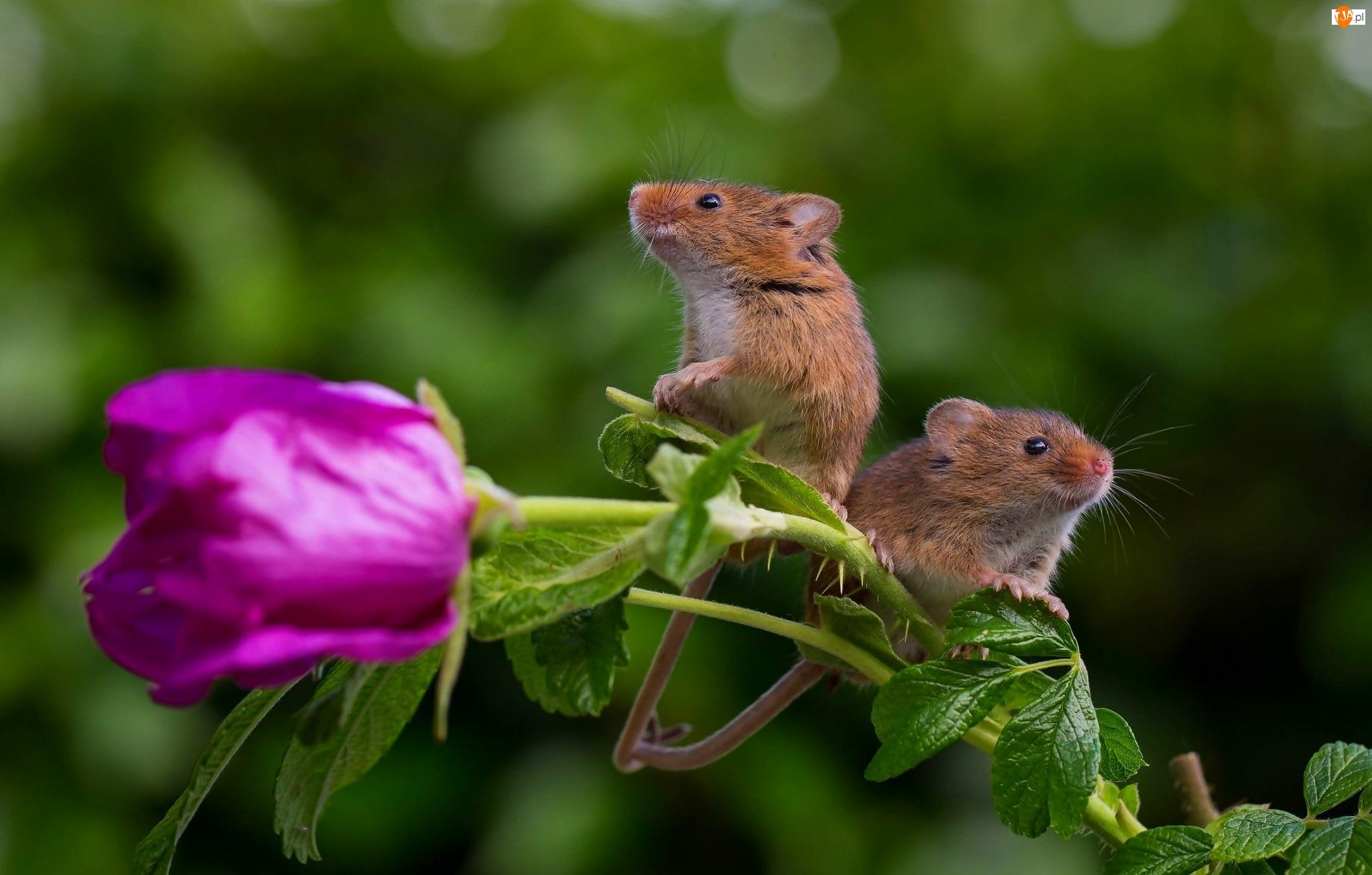 Myszki, Kwiat