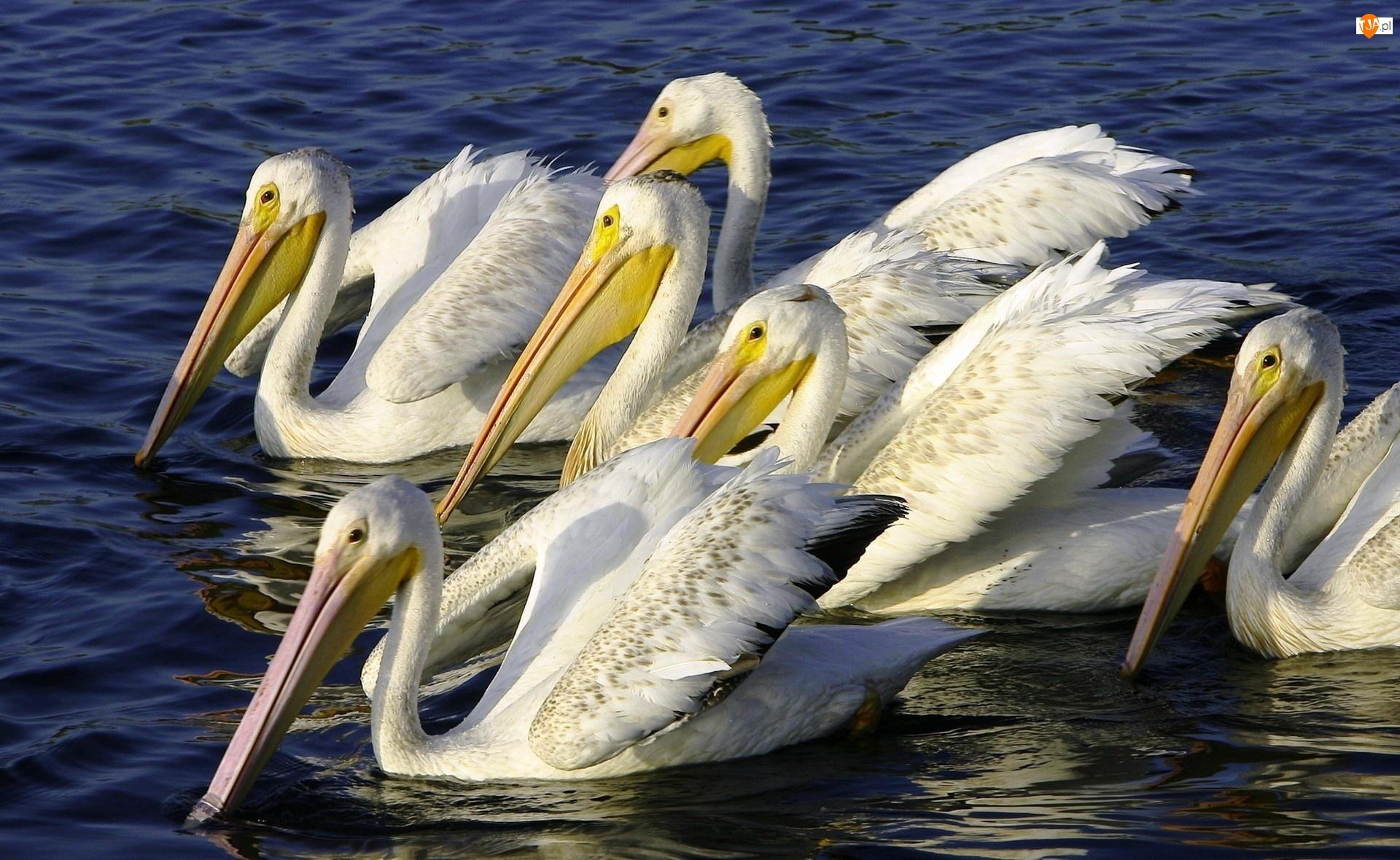 Pelikany, Woda