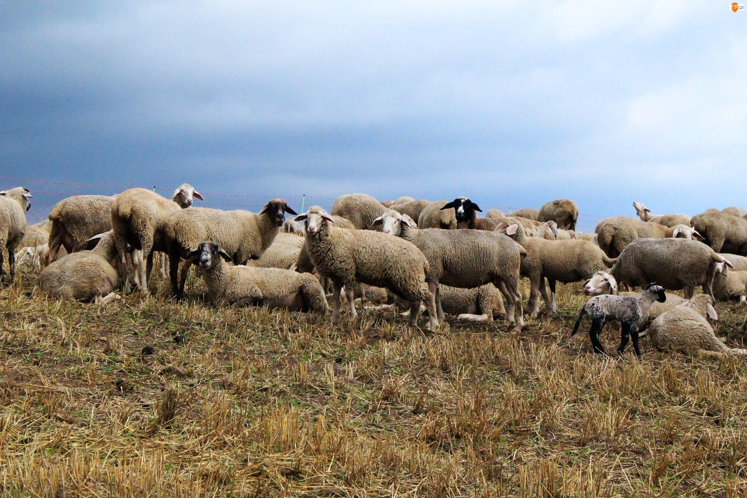 Łąka, Stado, Owiec