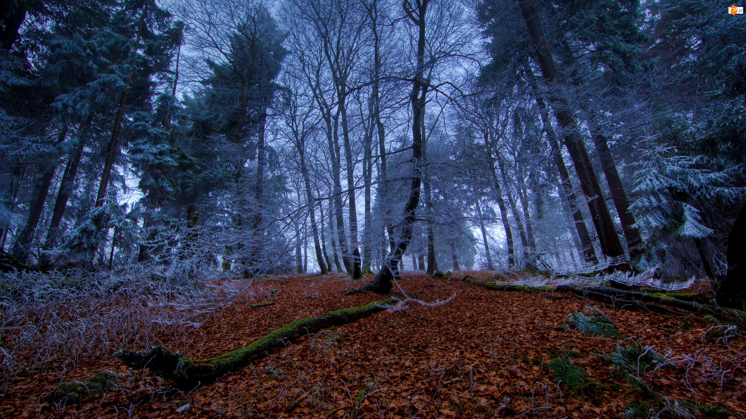 Jesień, Las, Liście, Drzewa, Opadłe, Oszronione