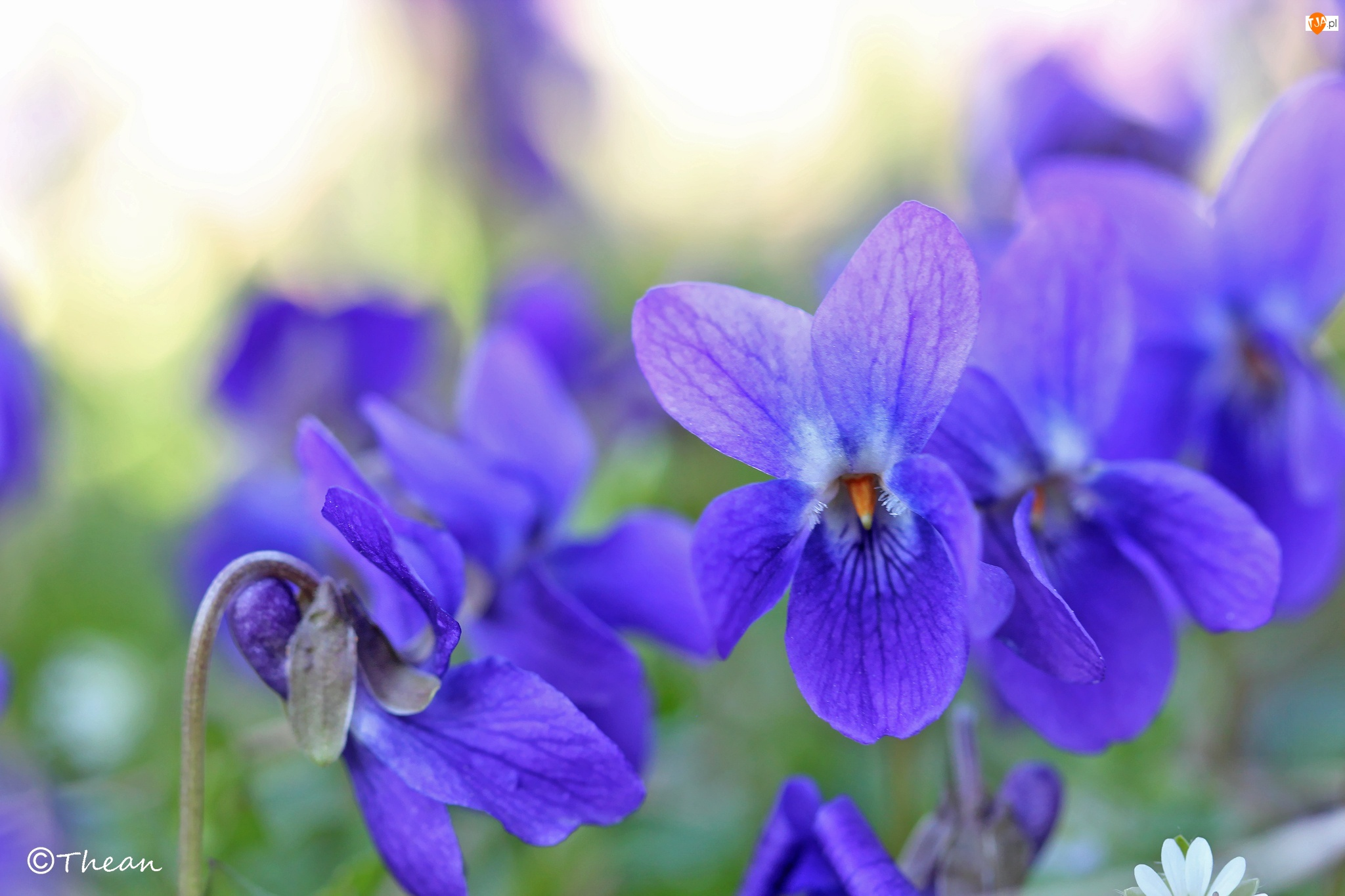 Fiołki Wonne, Wiosna, Fioletowe, Kwiaty