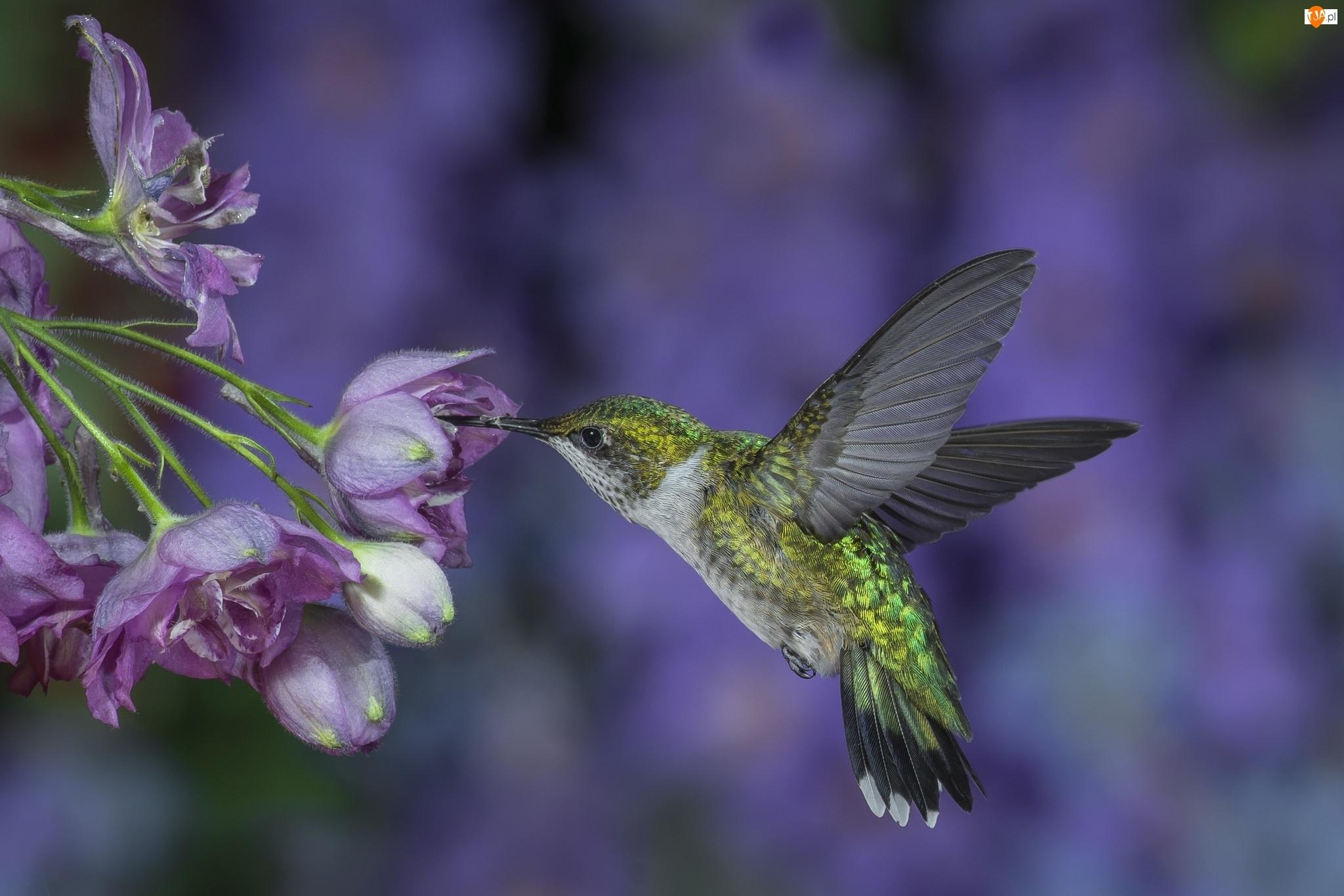 Koliberek, Kwiaty