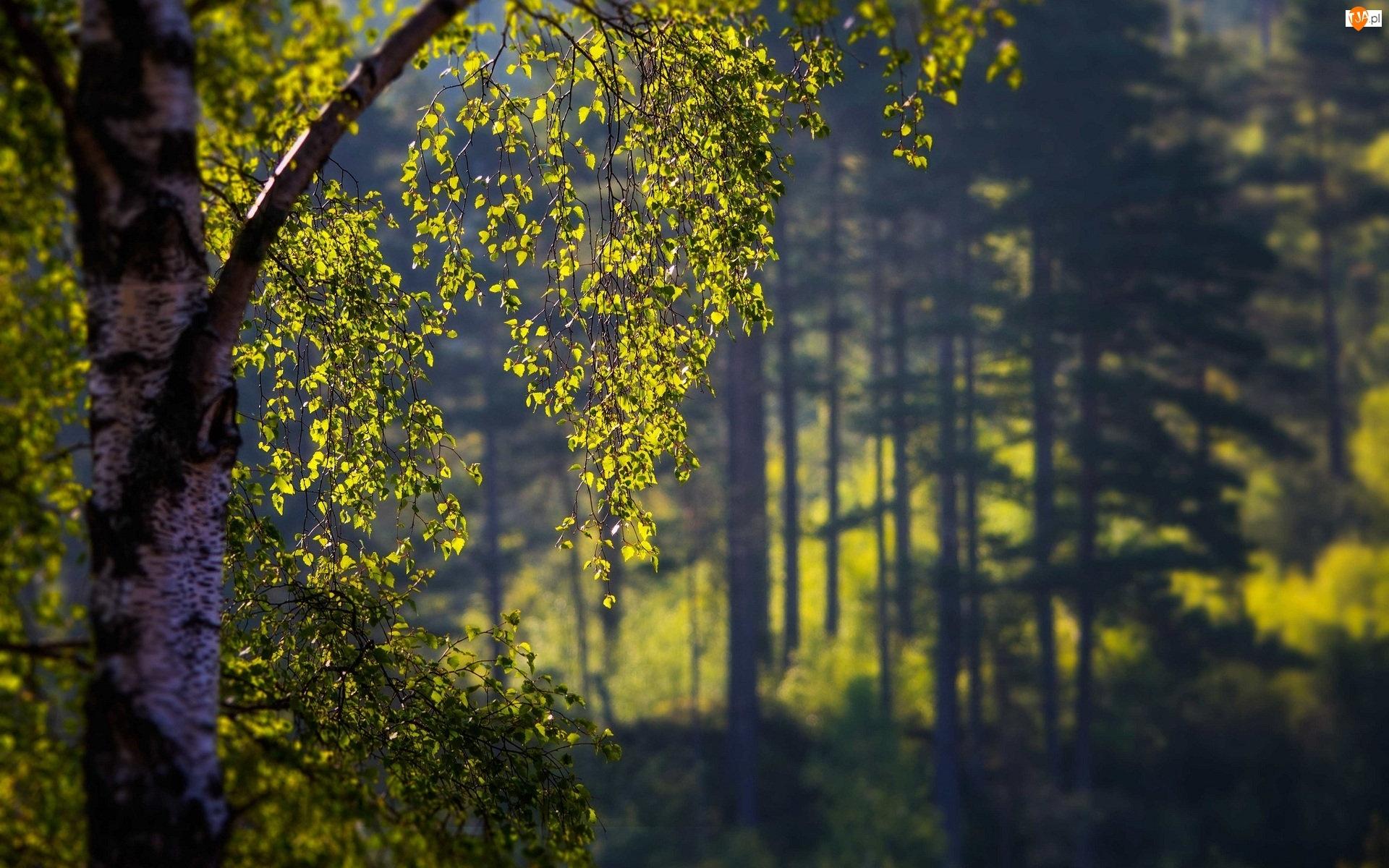 Las, Światło, Drzewo, Brzoza