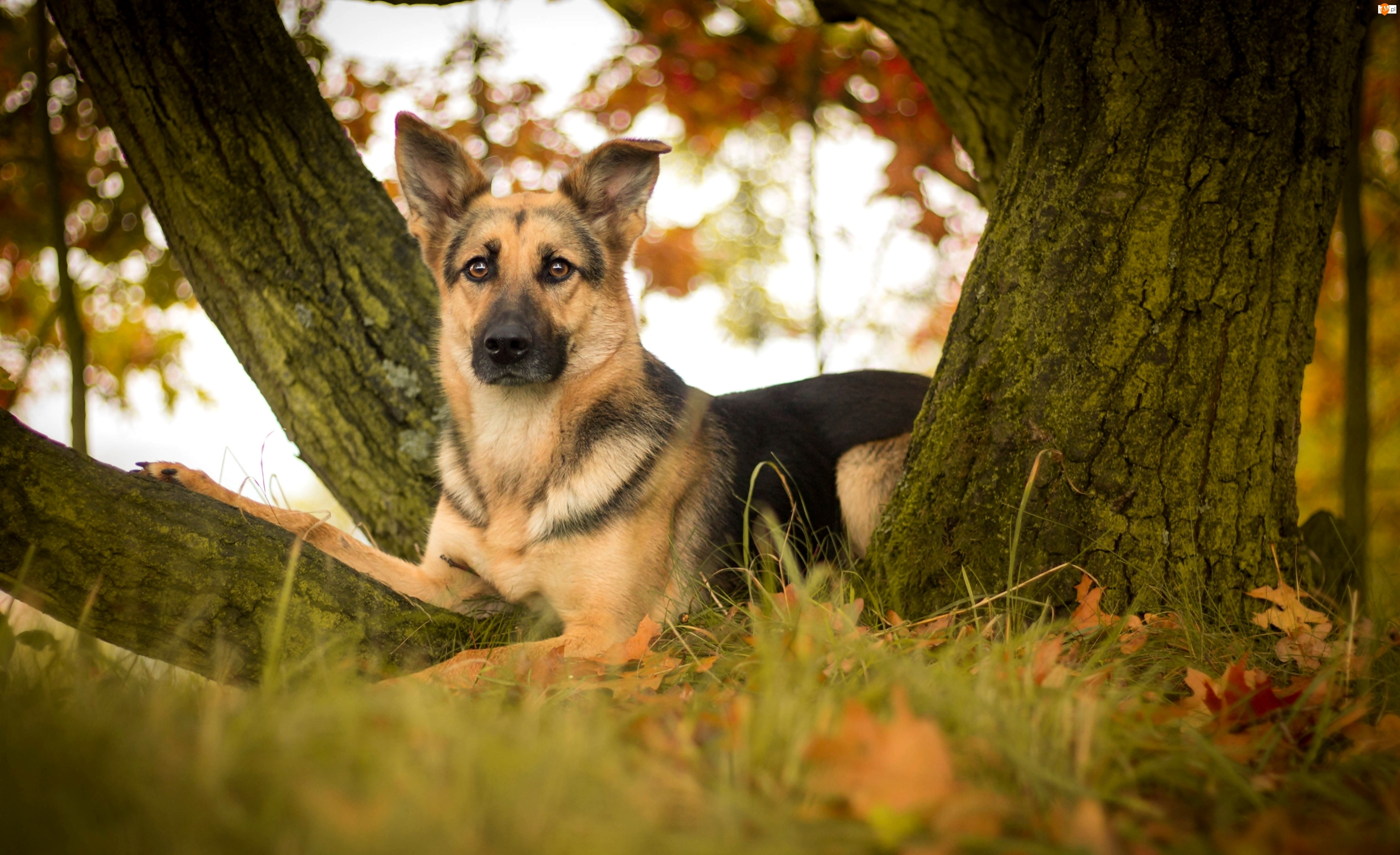 Jesienne, Niemiecki, Pies, Jesień, Liście, Owczarek, Drzewo